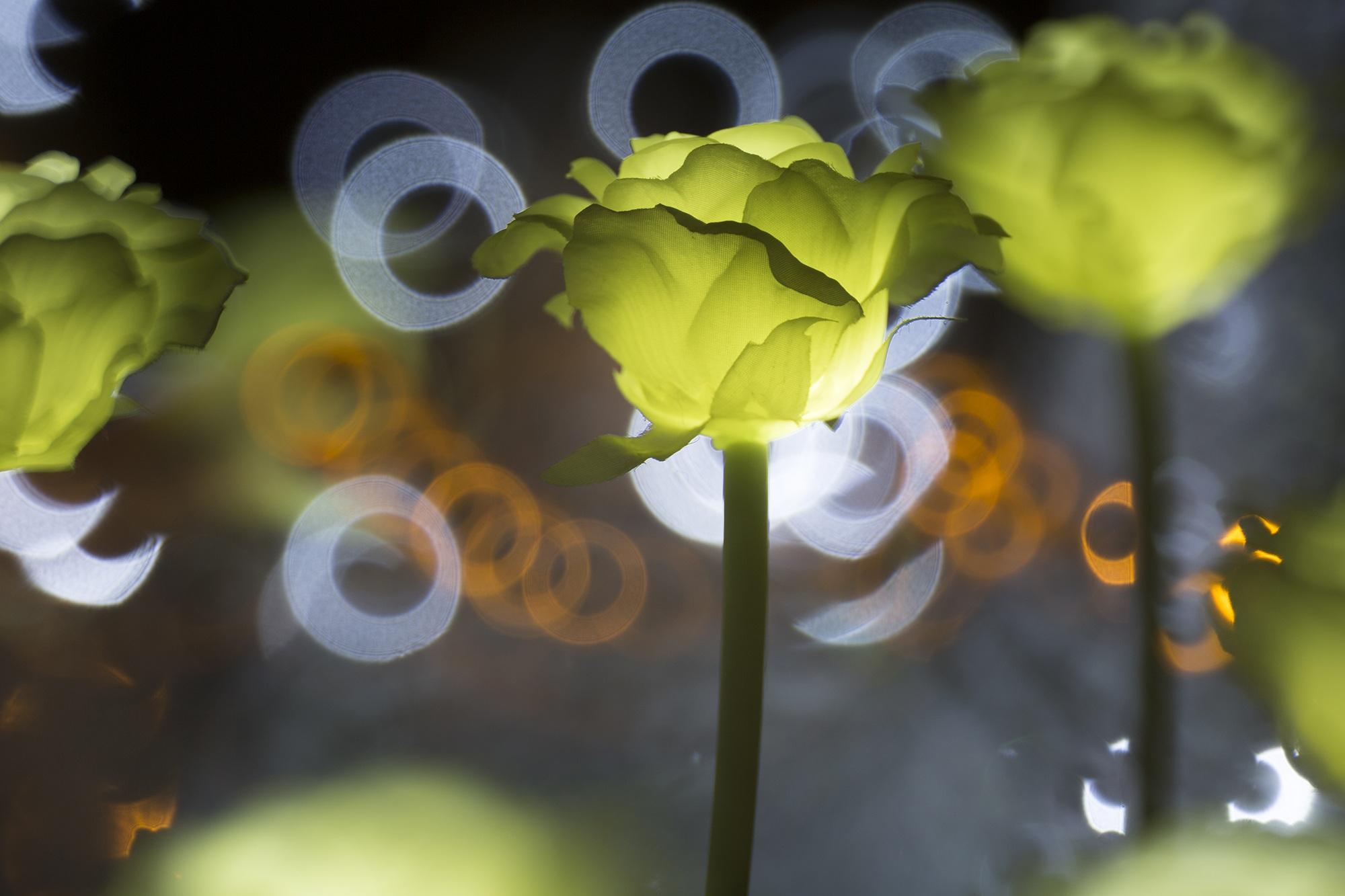 Kostenlose foto : Natur, blühen, Nacht-, Fotografie, Sonnenlicht ...