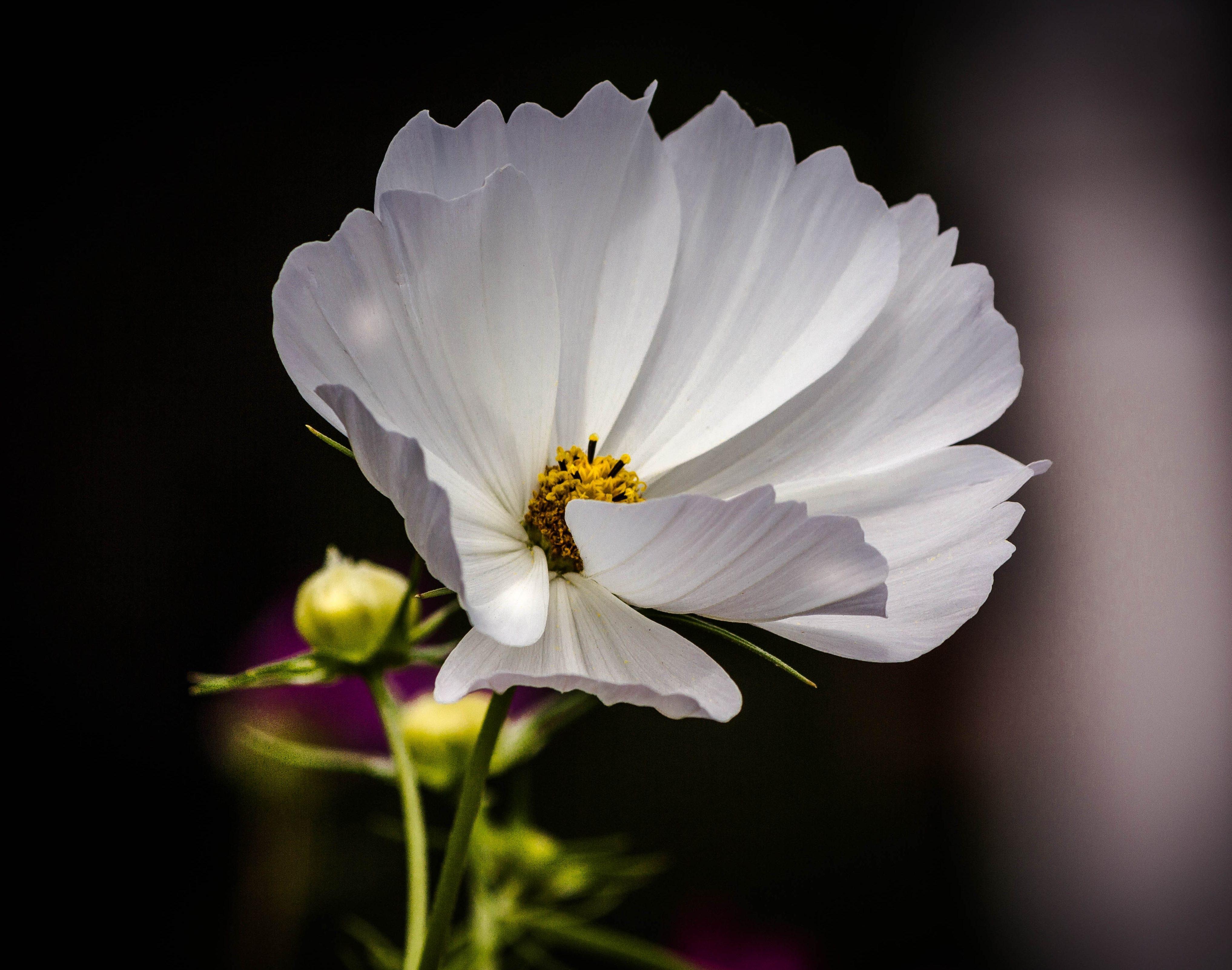 Free Images Nature Blossom Petal Pollen Flora White Flower