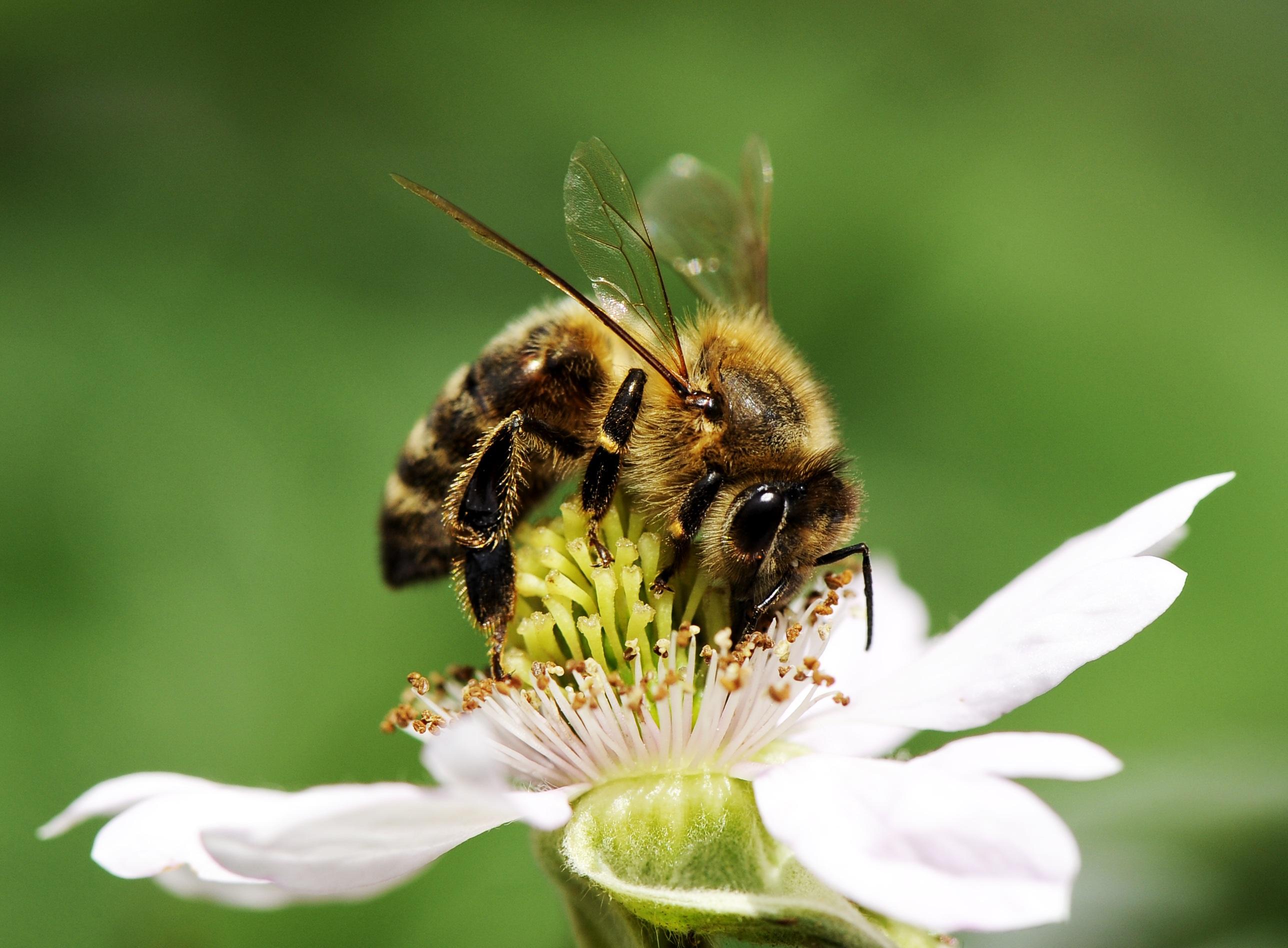 Картинки как пчела