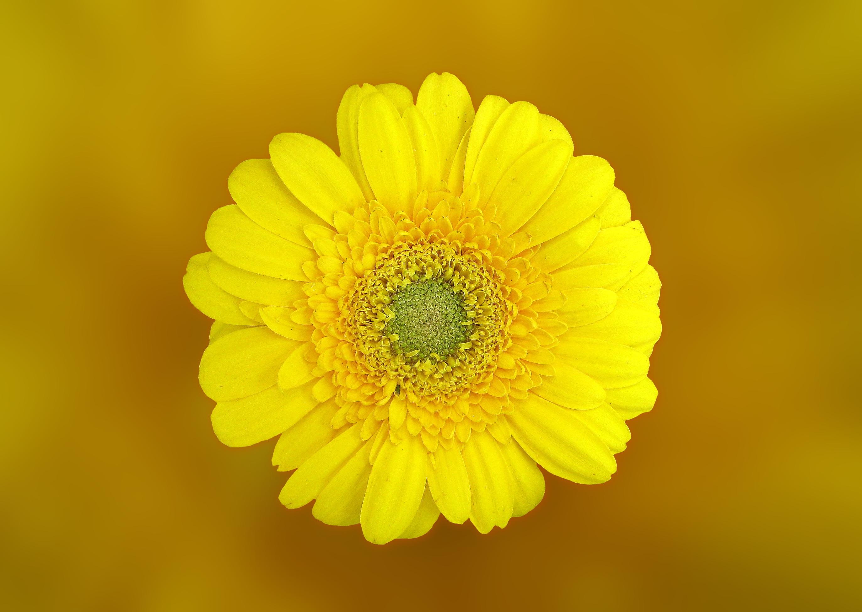 images gratuites la nature fleur la photographie p tale floraison marguerite pollen. Black Bedroom Furniture Sets. Home Design Ideas