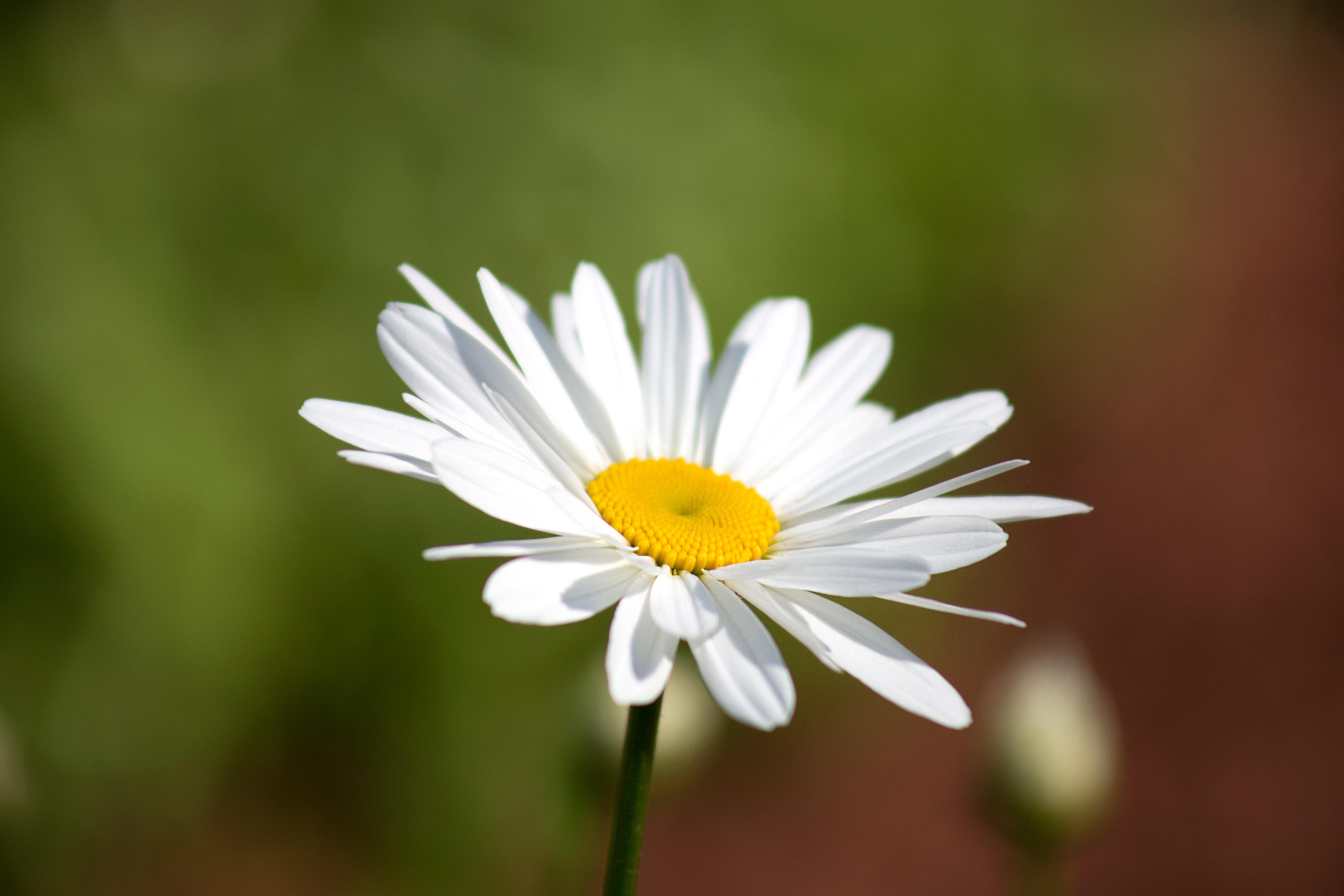 Images gratuites la nature fleur la photographie - Image fleur marguerite ...