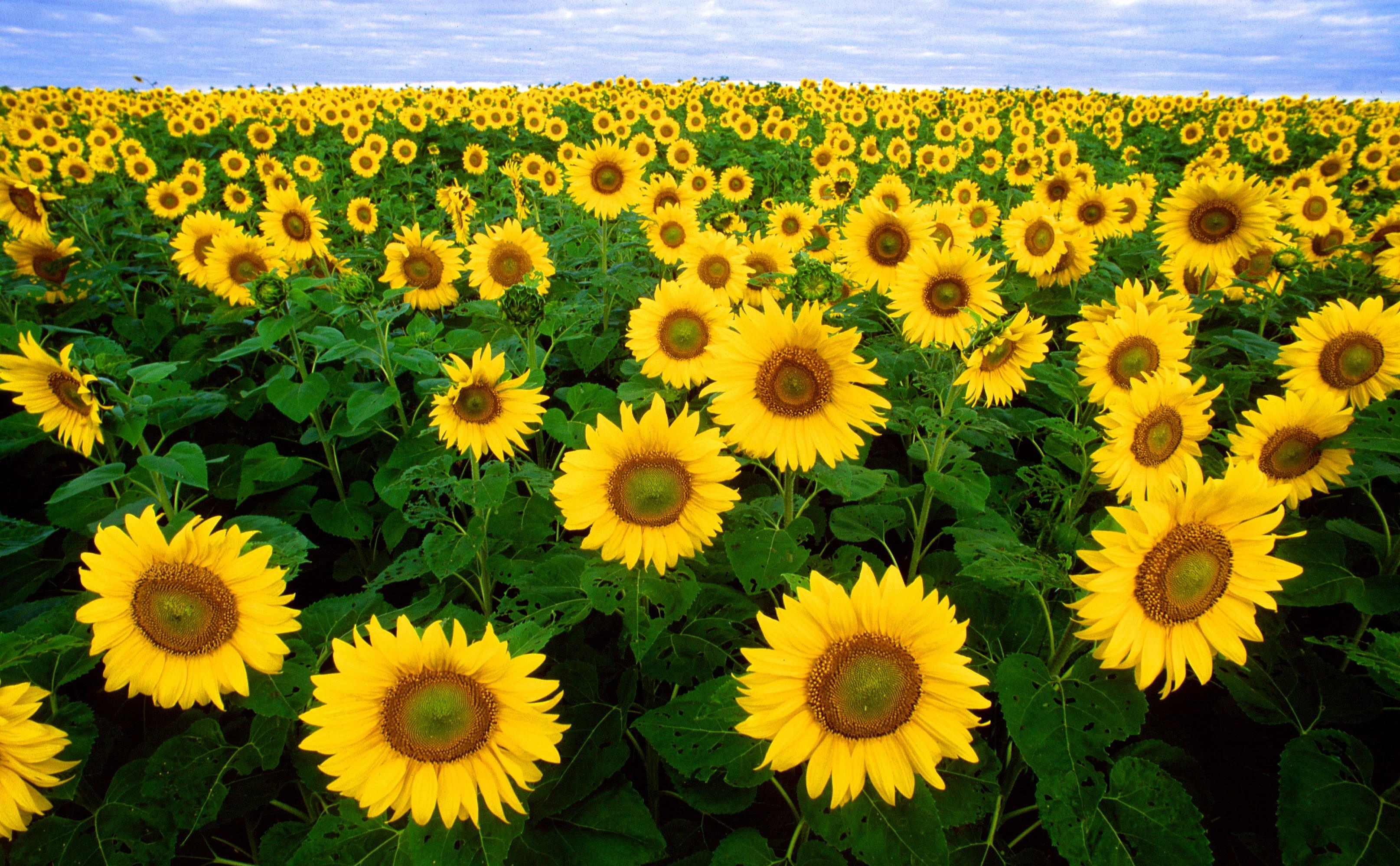 Gambar Alam Mekar Menanam Langit Bidang Berkembang Kuning
