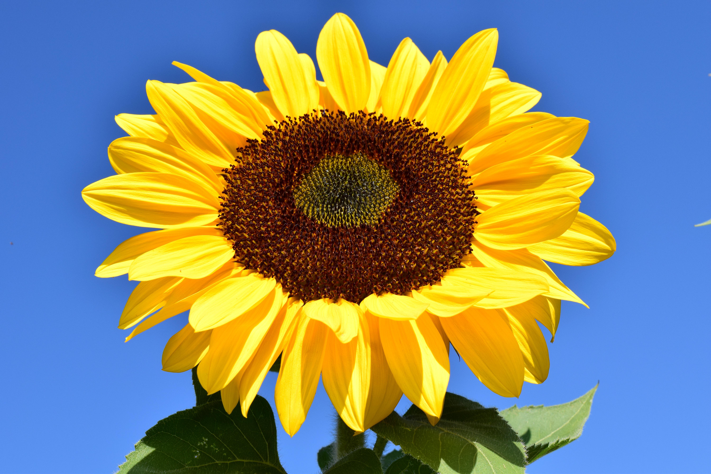 images gratuites la nature fleur ciel champ p tale floraison t couleur jaune fermer. Black Bedroom Furniture Sets. Home Design Ideas