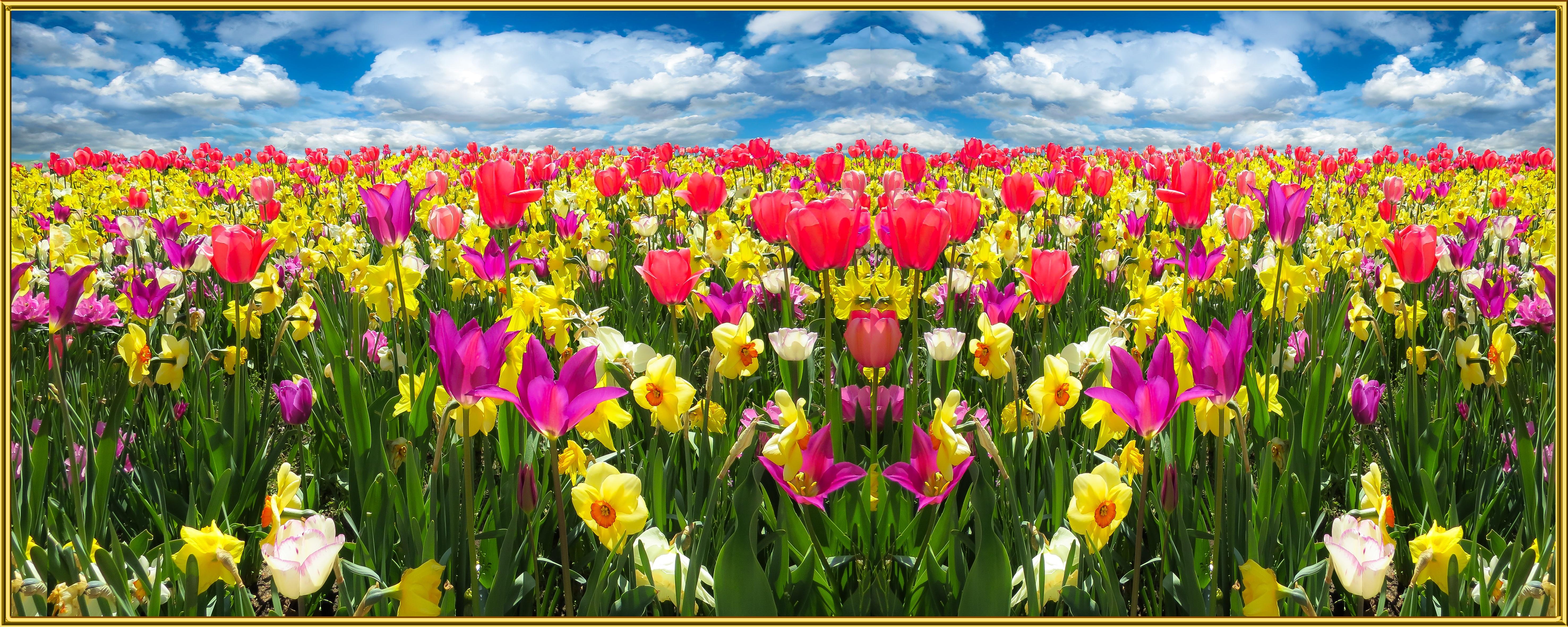 Immagini Belle : natura, fiorire, cielo, fiore, fioritura, tulipano ...