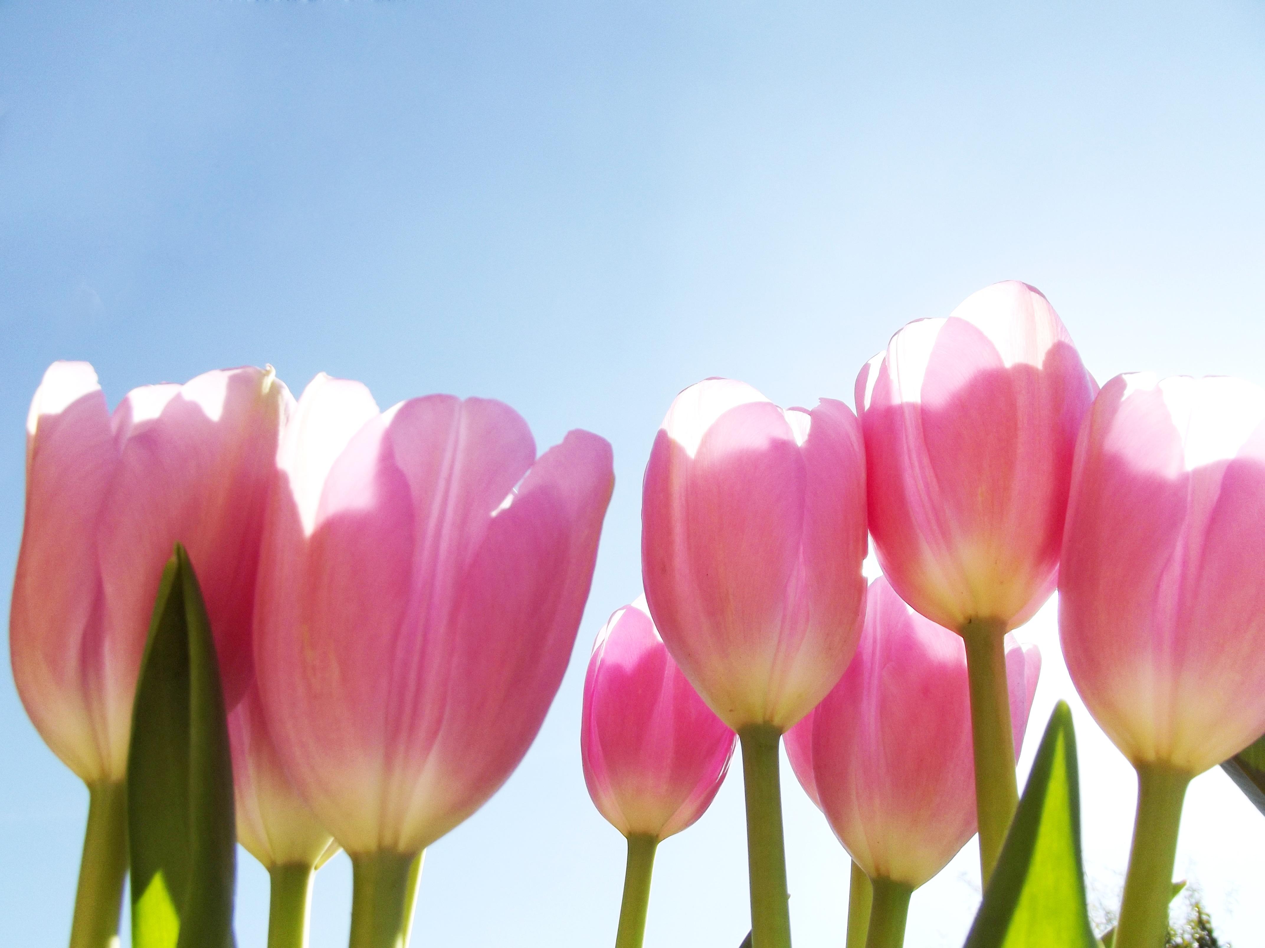 Free Images : nature, blossom, sky, flower, petal, bloom, summer ...
