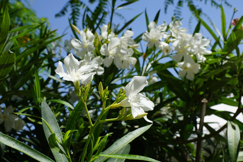 Gratuites la nature fleur ciel blanc Prairie été