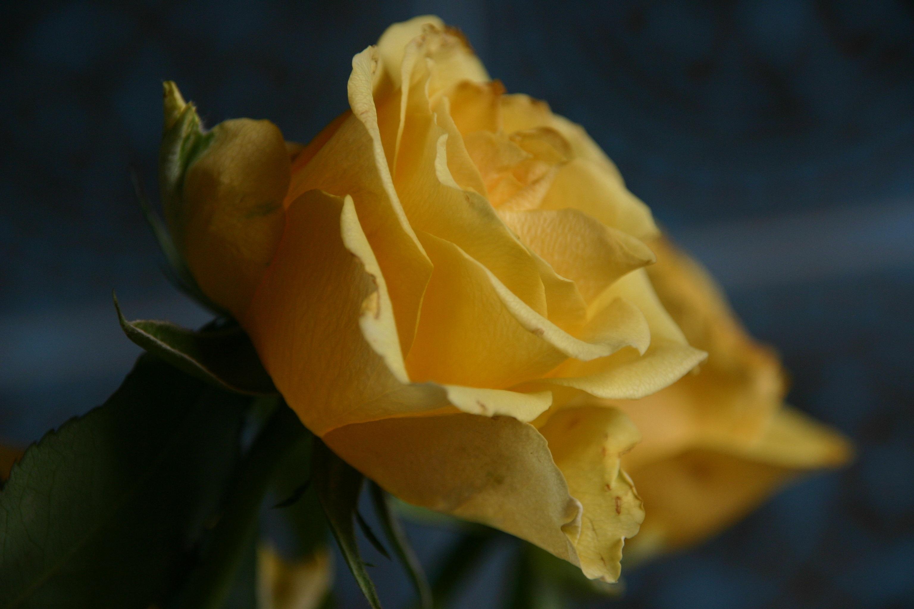 images gratuites : la nature, fleur, tige, feuille, pétale