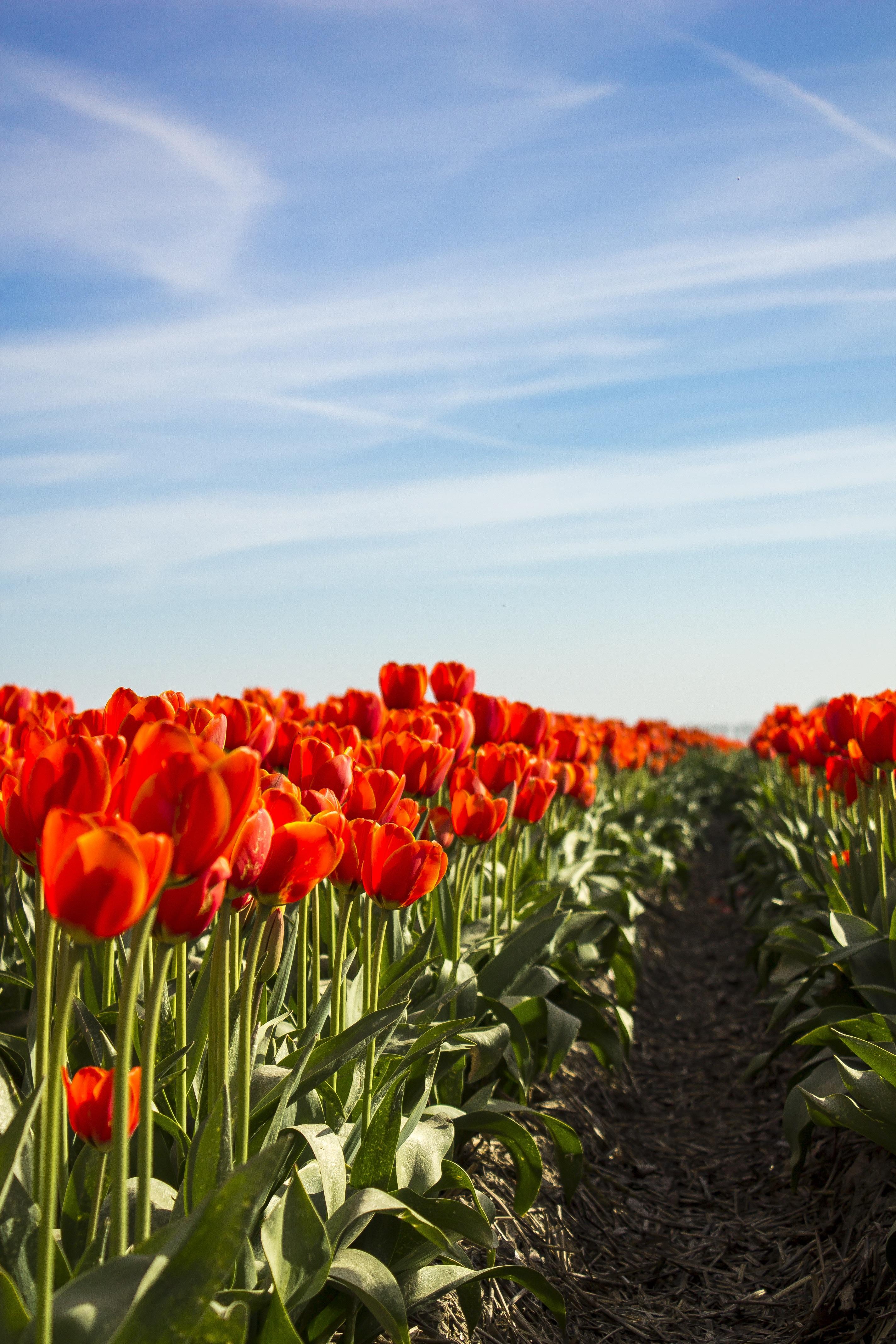 целозия выращивание из семян в домашних условиях фото пошагово