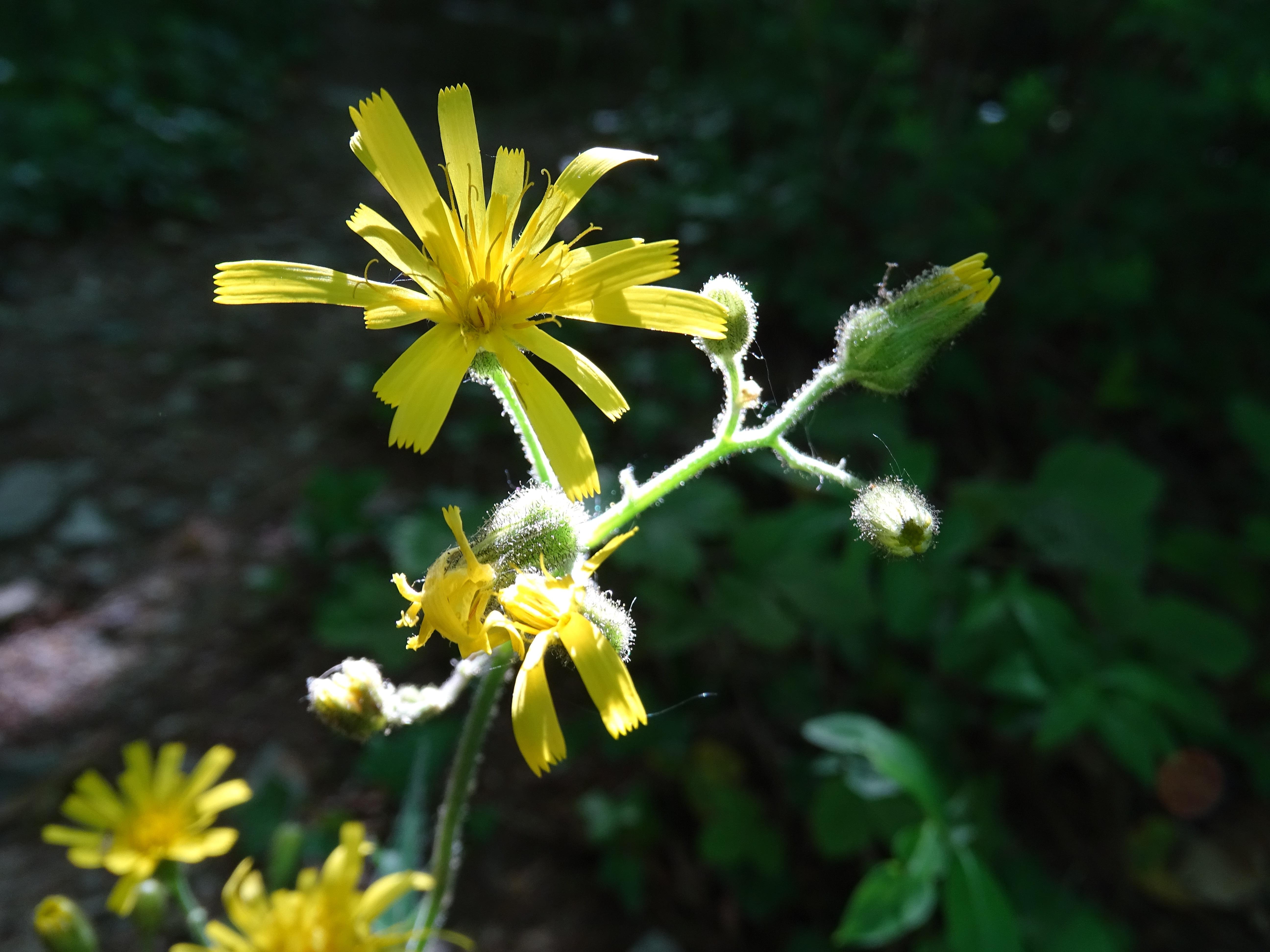 Images gratuites la nature soleil floraison t for Plante jaune