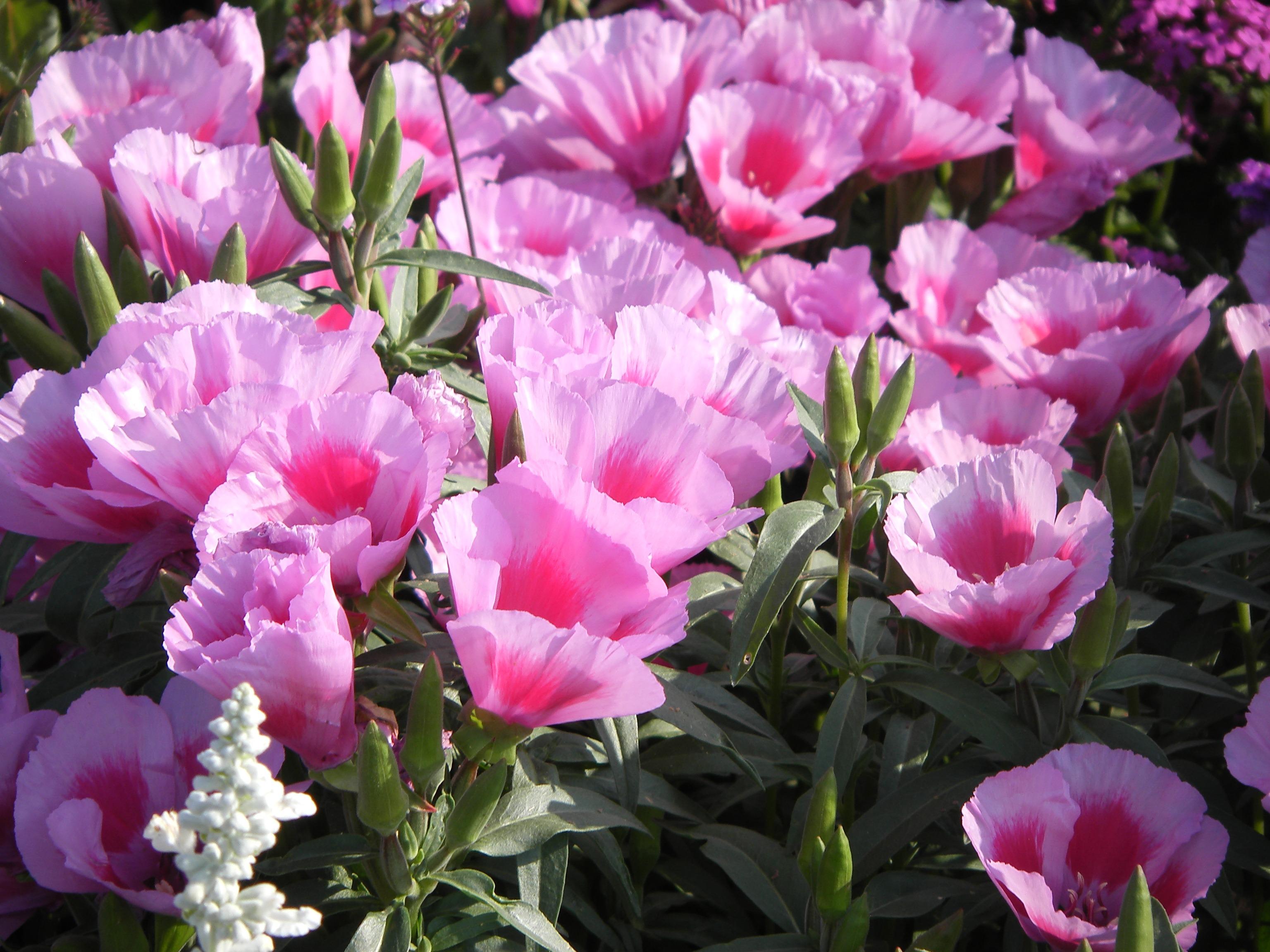 Fleurs annuelles plein soleil trendy les plus belles annuelles cyberpresse with fleurs - Fleurs aimant le plein soleil ...