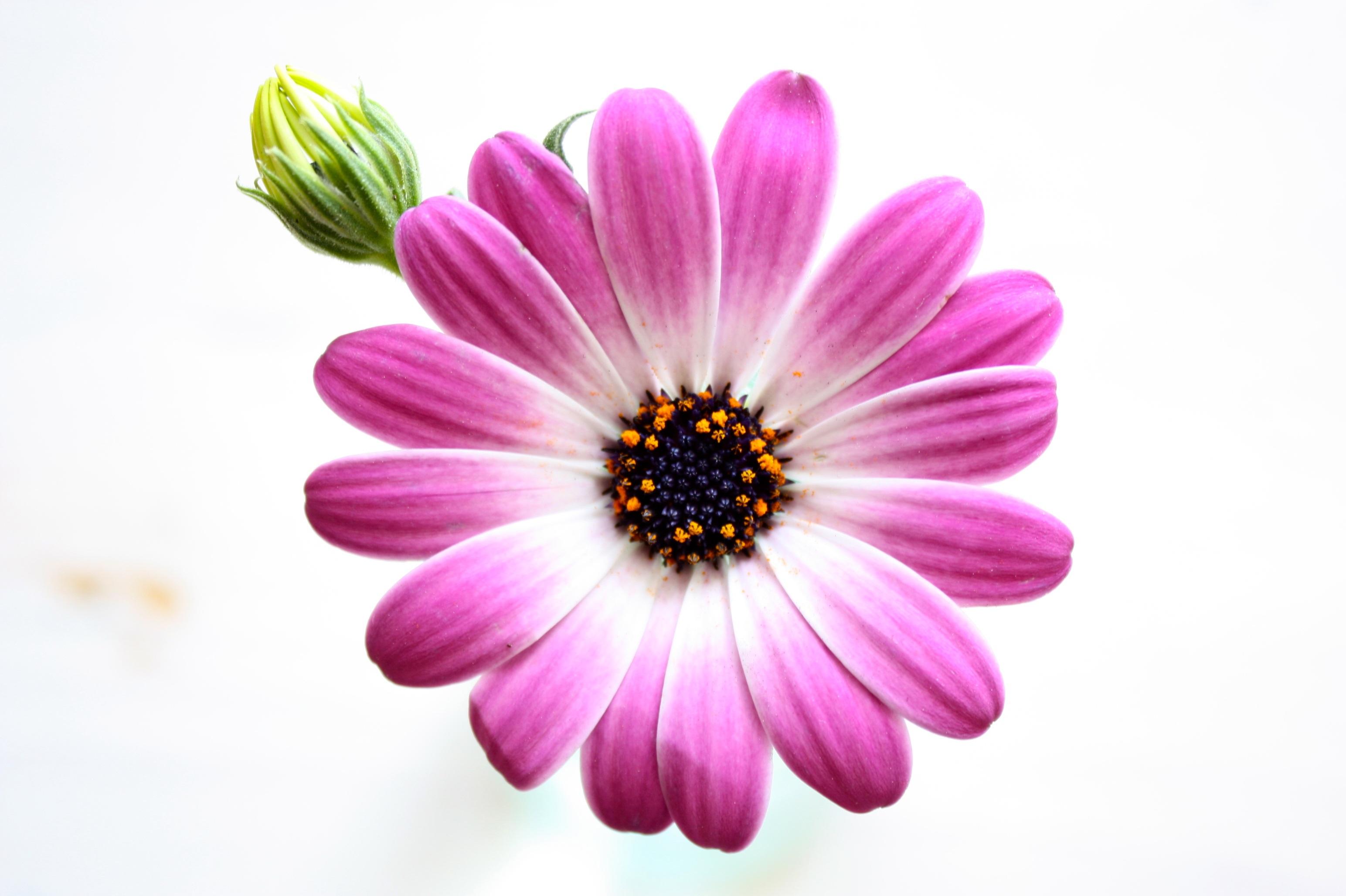 Free Images Nature Blossom Sun Flower Purple Petal Bloom