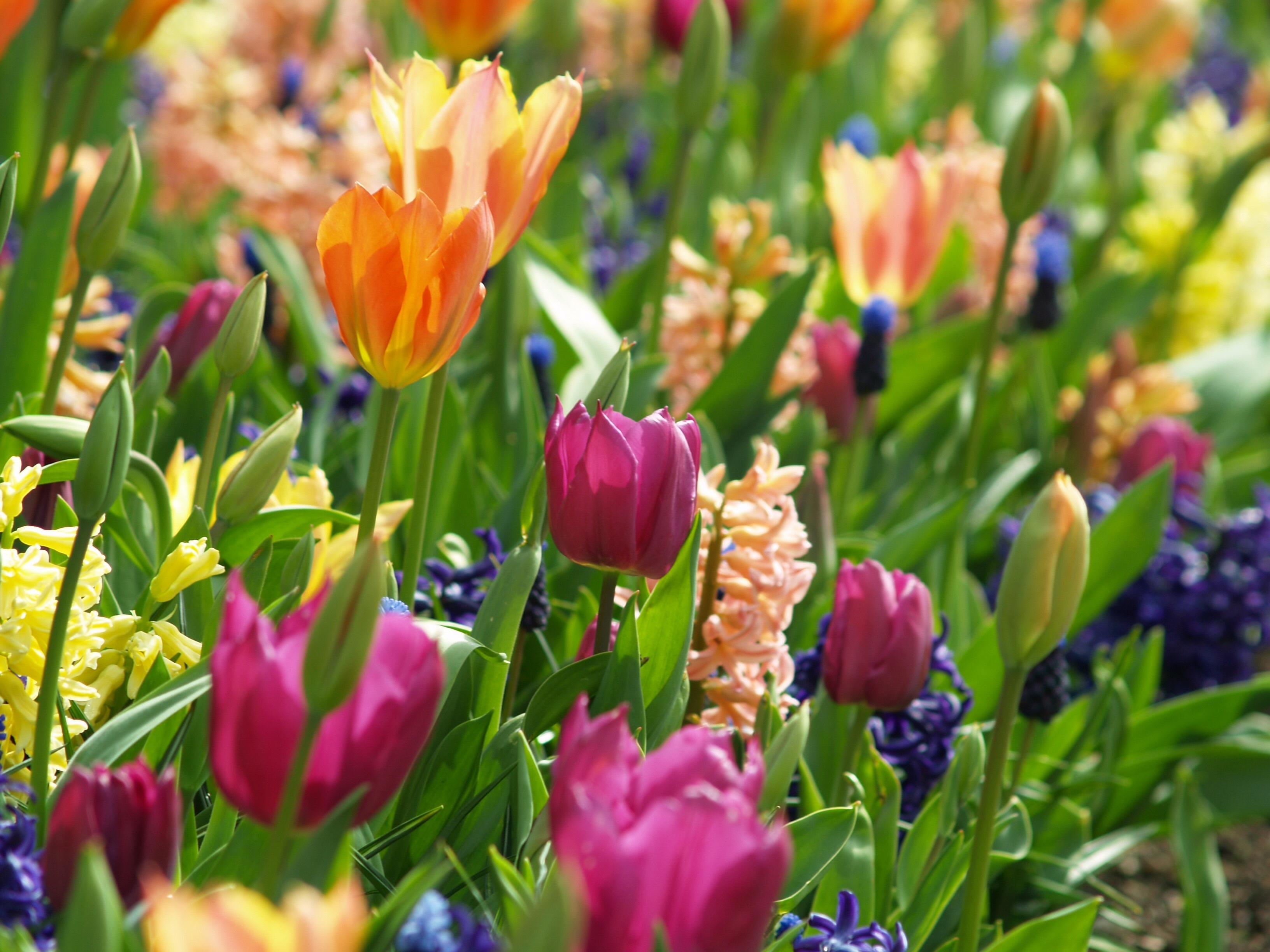 fleur jacinthe