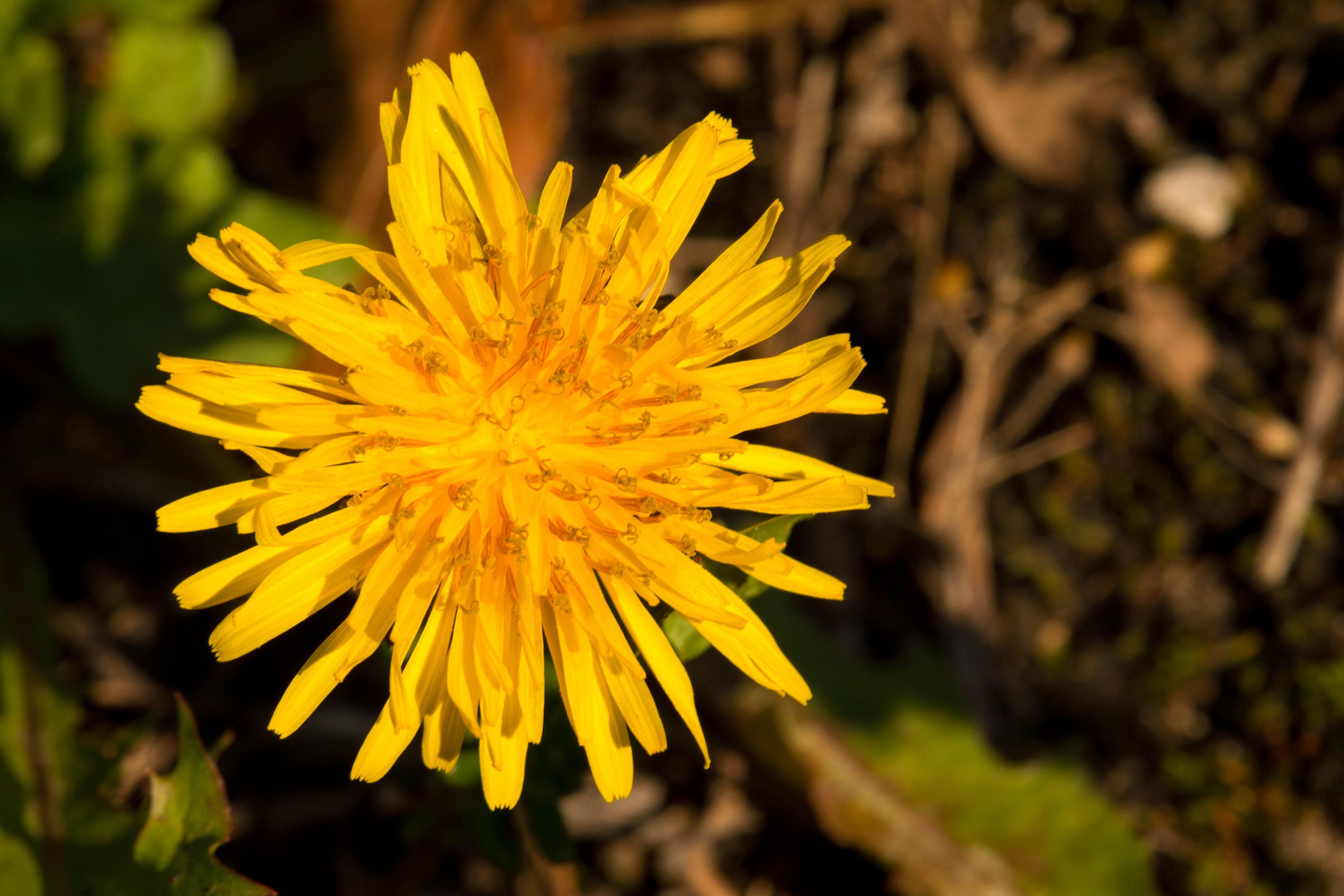 Images Gratuites  la nature, lumière du soleil, feuille, pétale,  Floraison, l\u0027automne, botanique, Fermer, flore, fleur jaune, Fleur sauvage,  fermer, Fleurs
