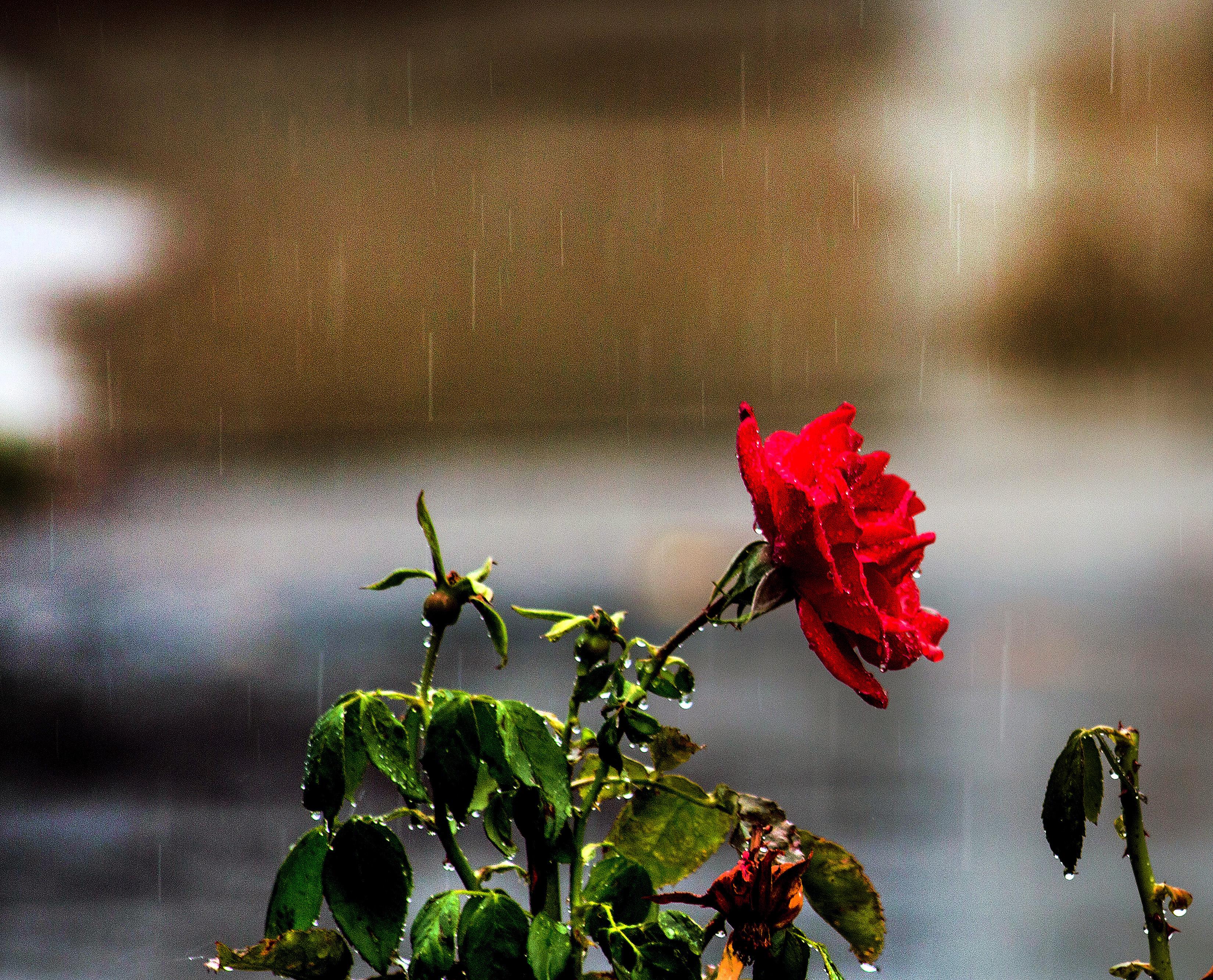 Gambar Alam Mekar Menanam Sinar Matahari Hujan Daun Bunga Mawar Hijau Refleksi Merah Warna Musim Gugur Cuaca Botani Flora Merapatkan Fotografi Makro Batang Tanaman 3300x2667 282682 Galeri Foto Pxhere