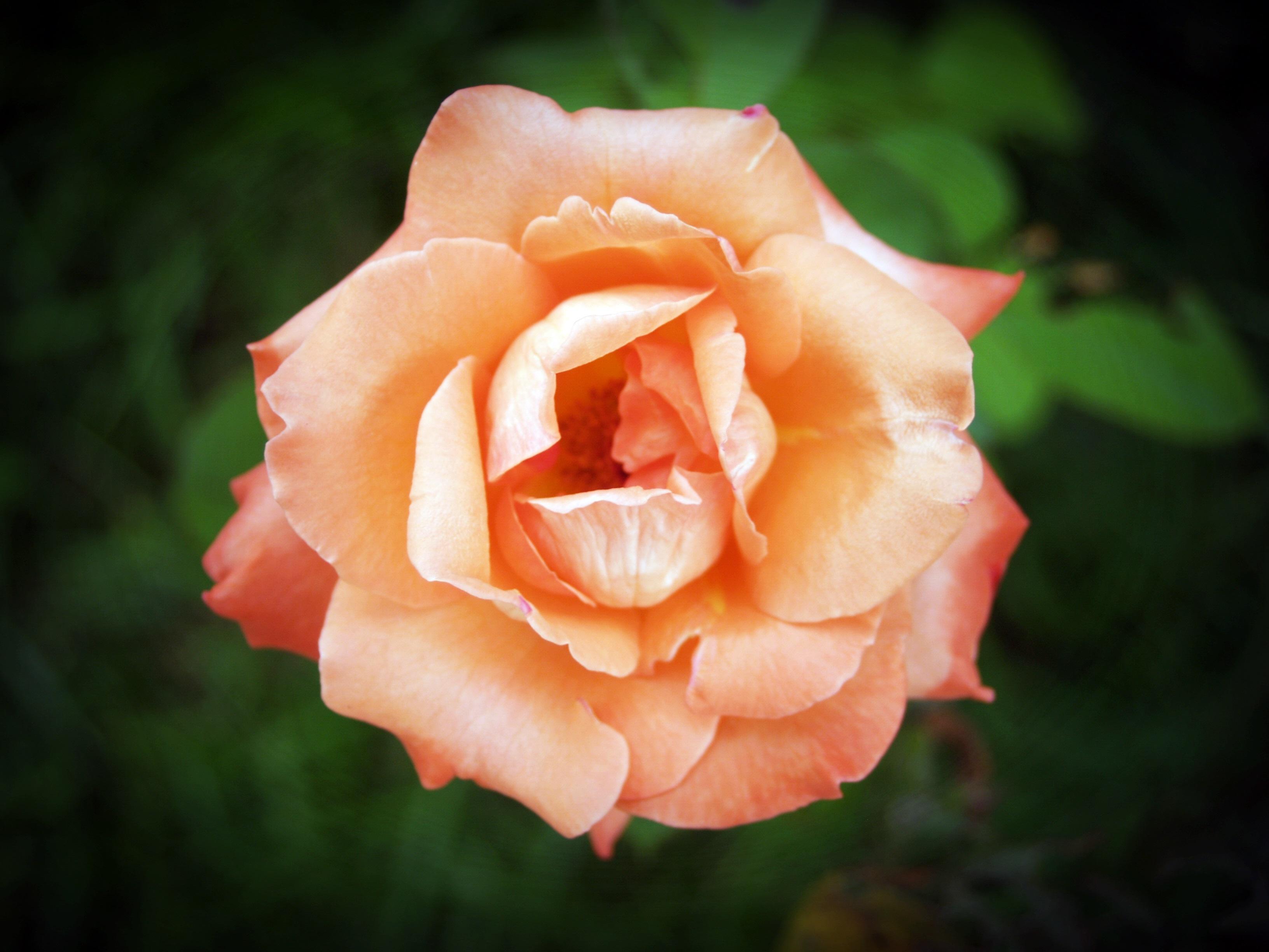 kostenlose foto : natur, blühen, sonnenschein, blatt, blume, Garten und erstellen