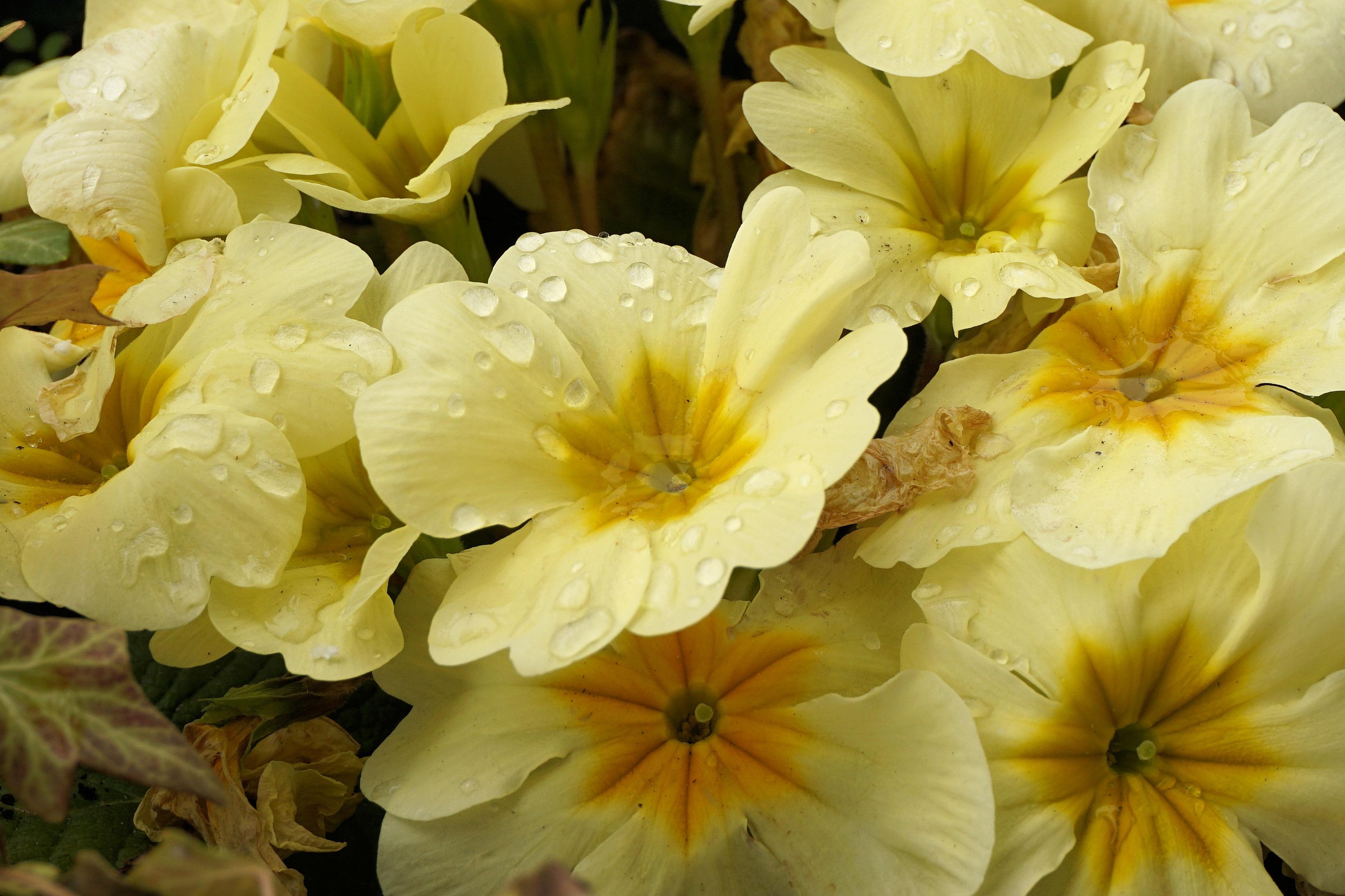 Free Images Nature Blossom Sweet Petal Bloom Raindrop Color