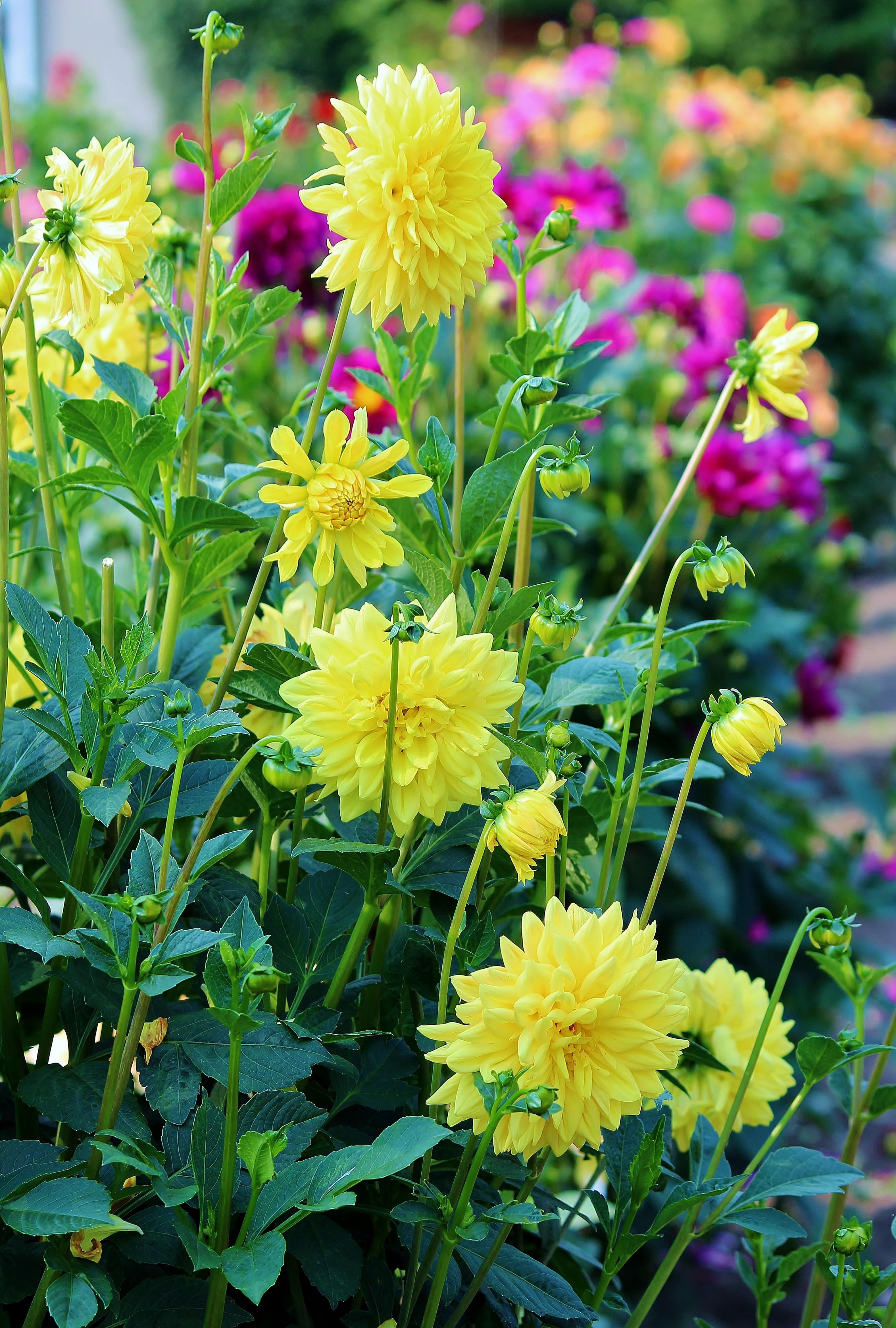 images gratuites la nature fleur champ prairie prairie floraison t buisson herbe. Black Bedroom Furniture Sets. Home Design Ideas