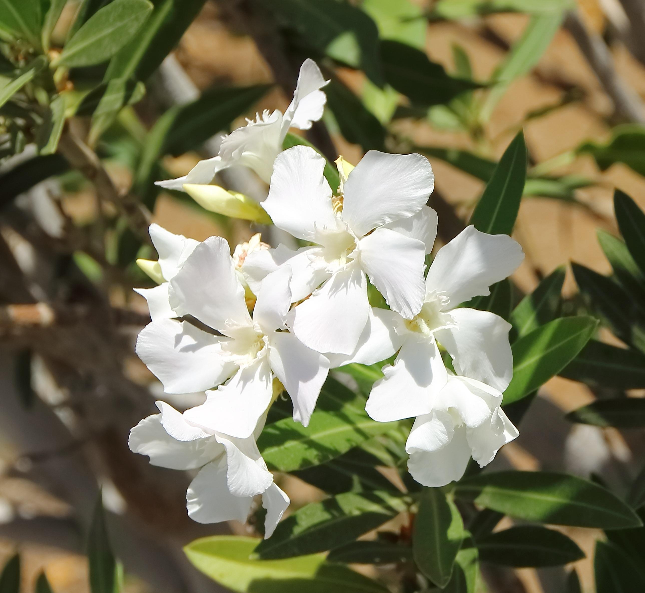 Fotos Gratis Naturaleza Blanco Botanica Jardin Flora Flor