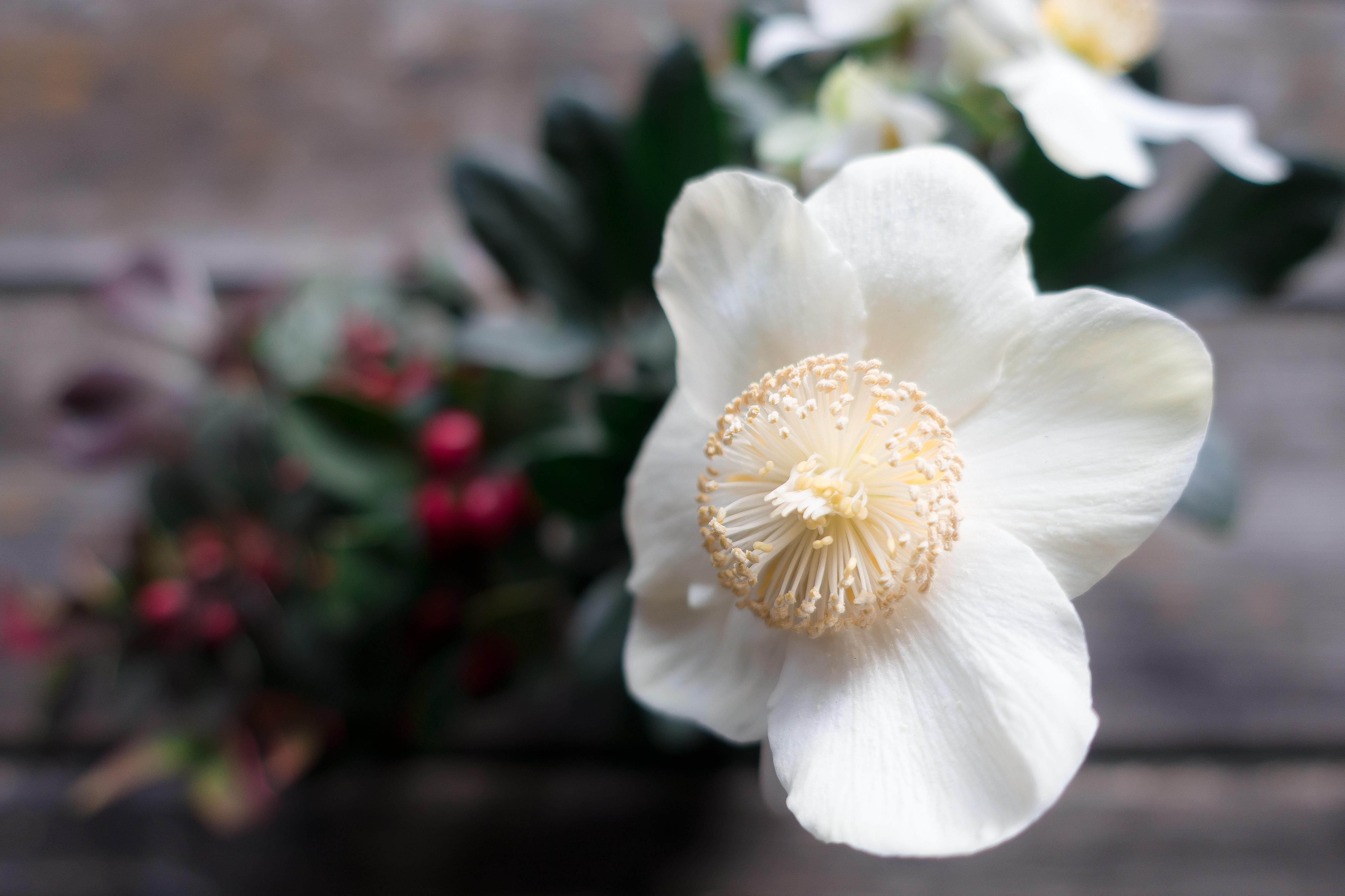 Free Images Nature Blossom Petal Bloom Botany Flora White