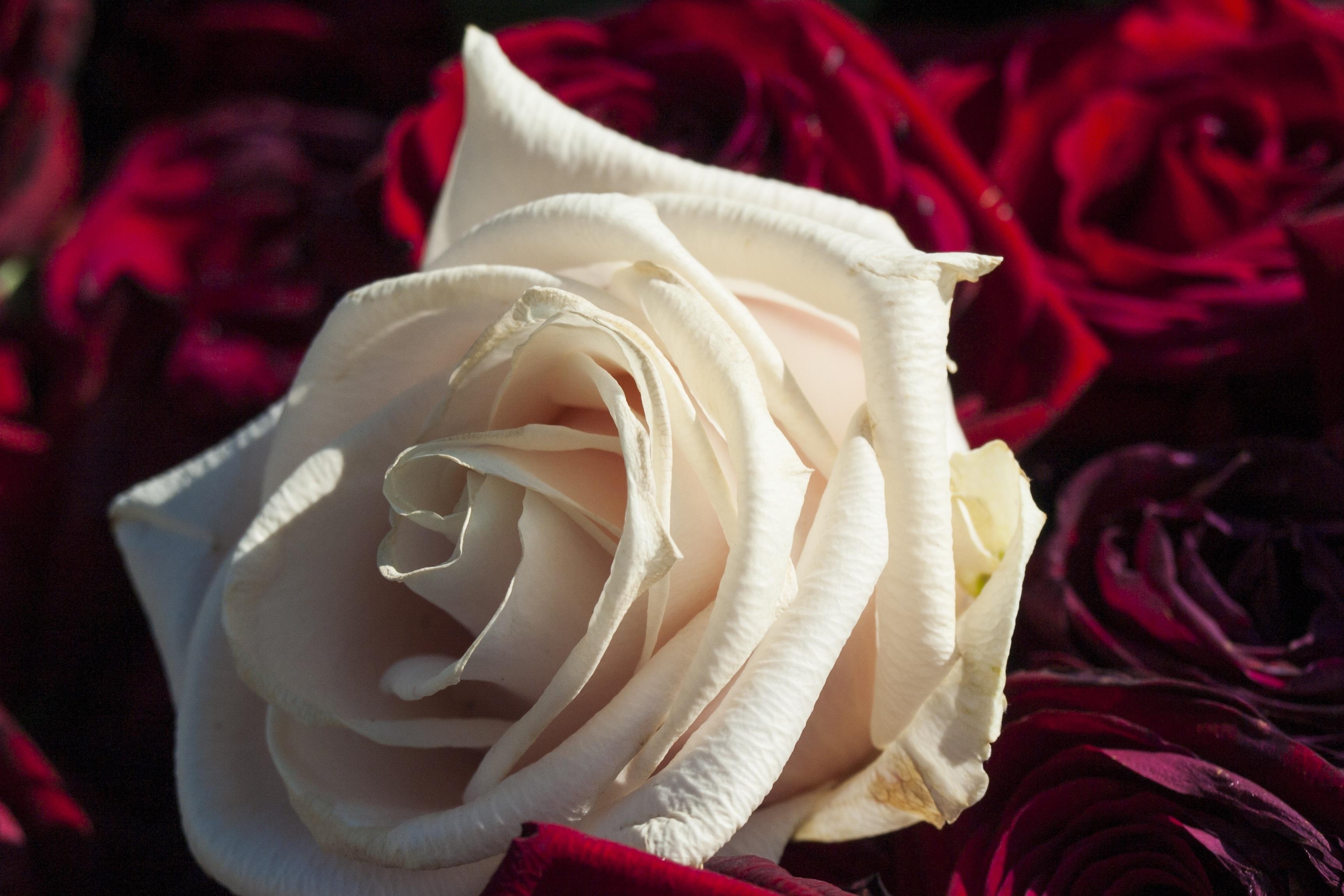 Картинки красна белые розы