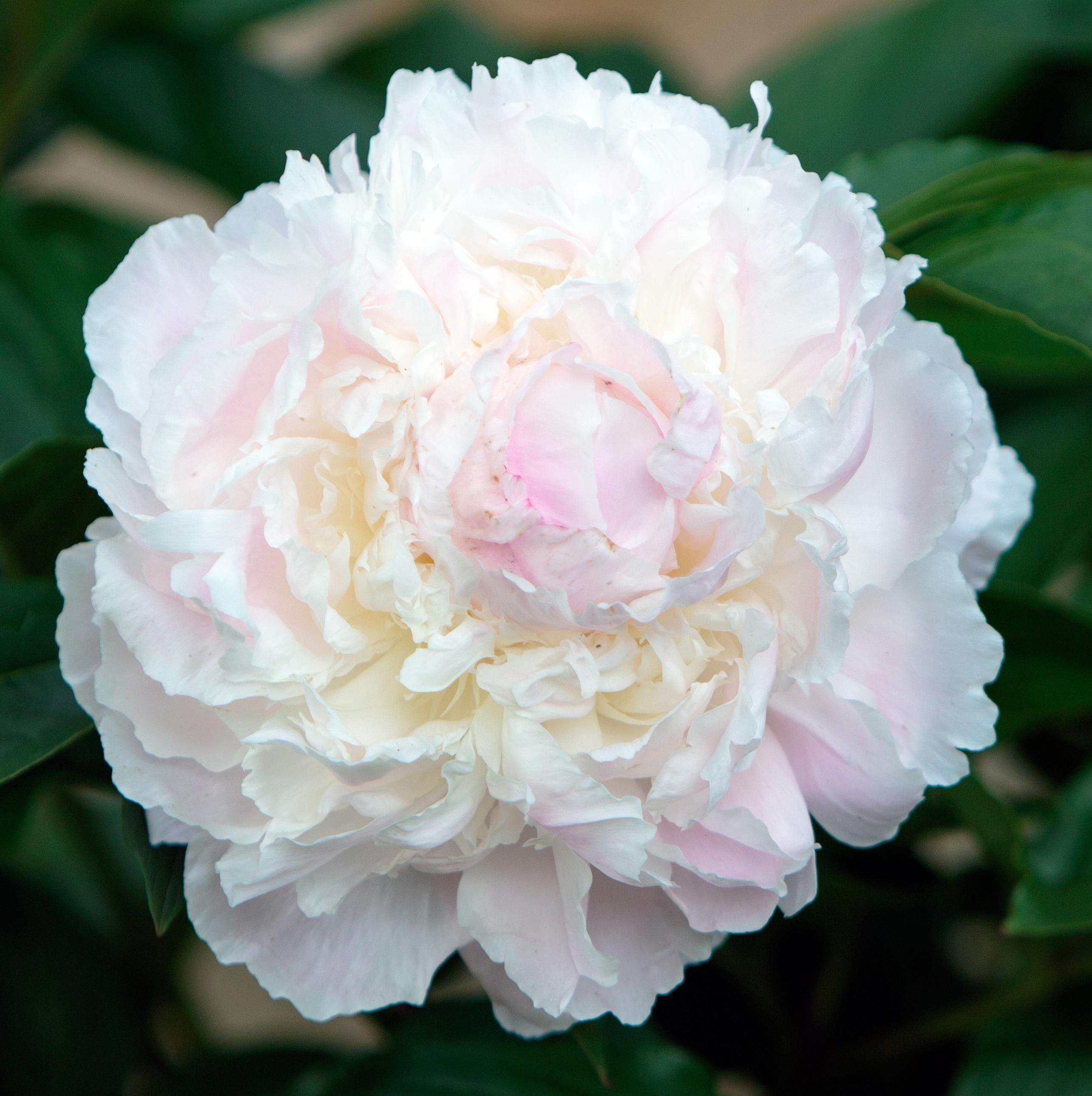 Images Gratuites La Nature Fleur Blanc Petale Floraison
