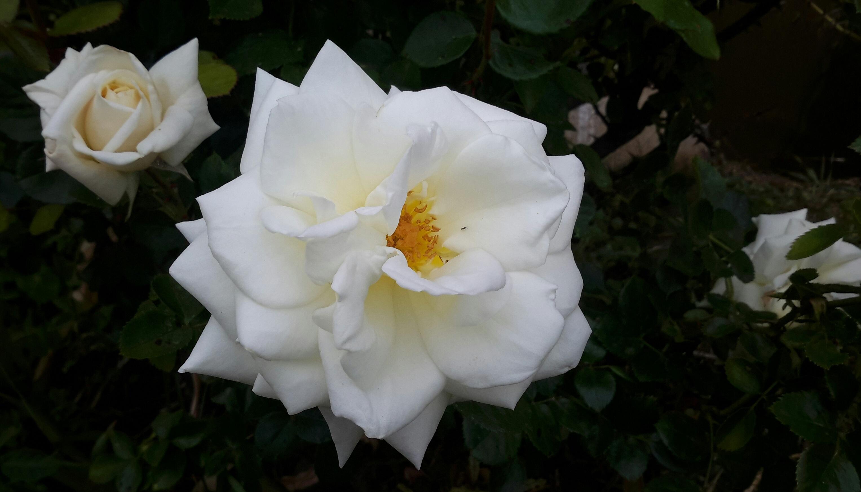 Images Gratuites La Nature Blanc Petale Floraison Romantique