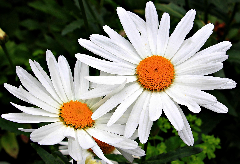 Ромашка фото цветов крупным