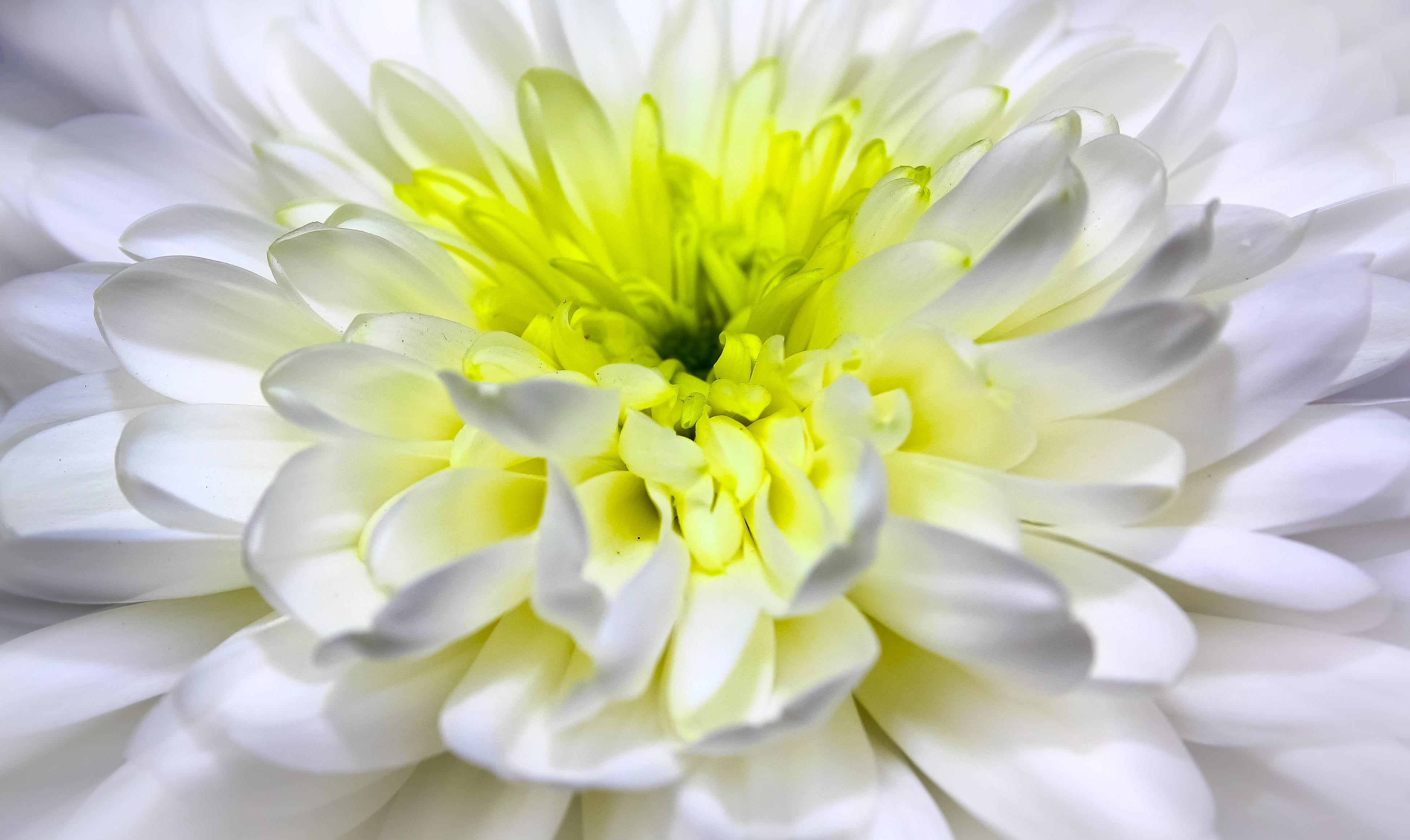 Free images nature blossom white flower petal bloom summer free images nature blossom white flower petal bloom summer yellow garden flora close up dahlia chrysanthemum spring flowers mightylinksfo