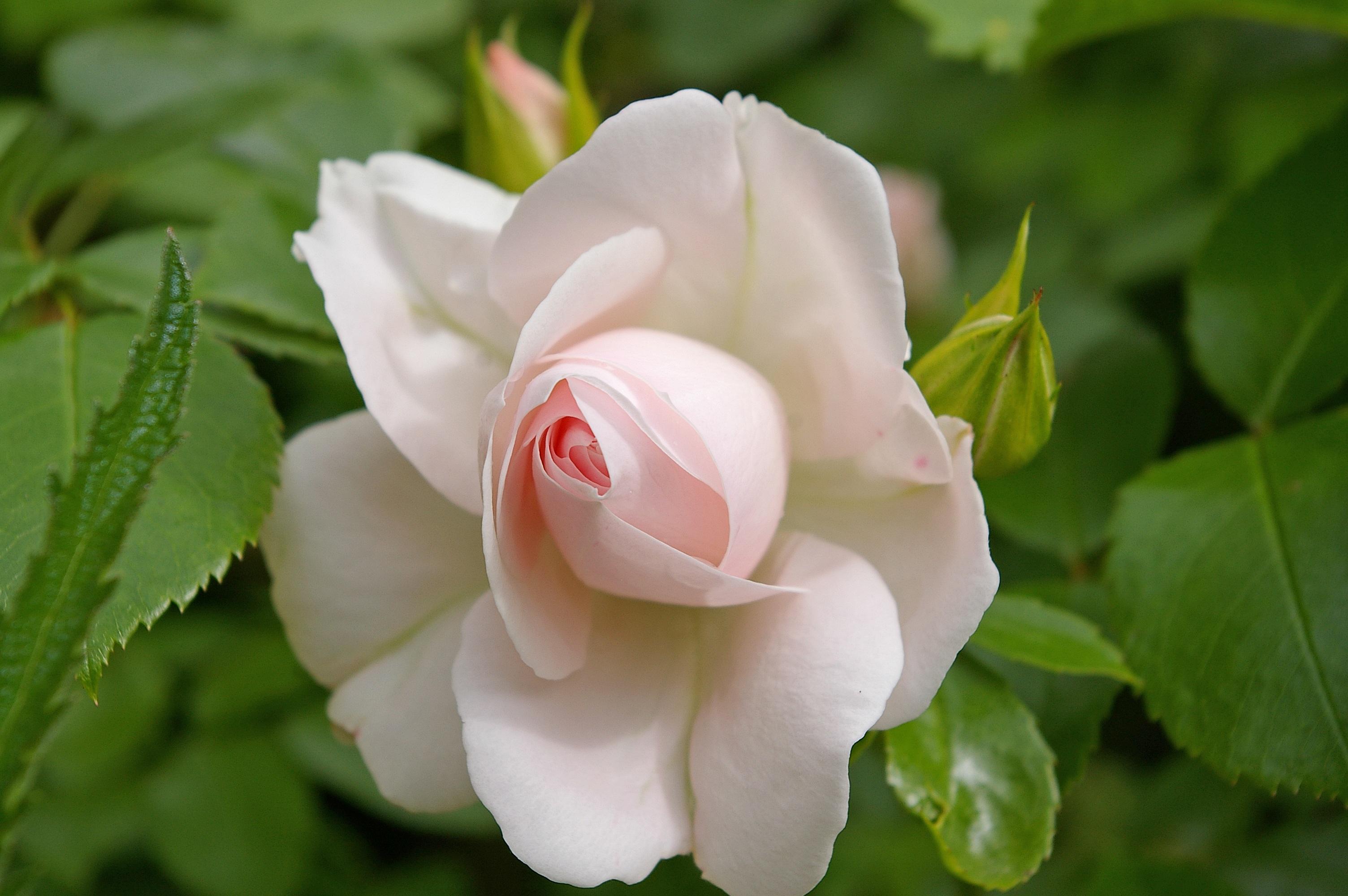 фото нежных белых цветов в природе