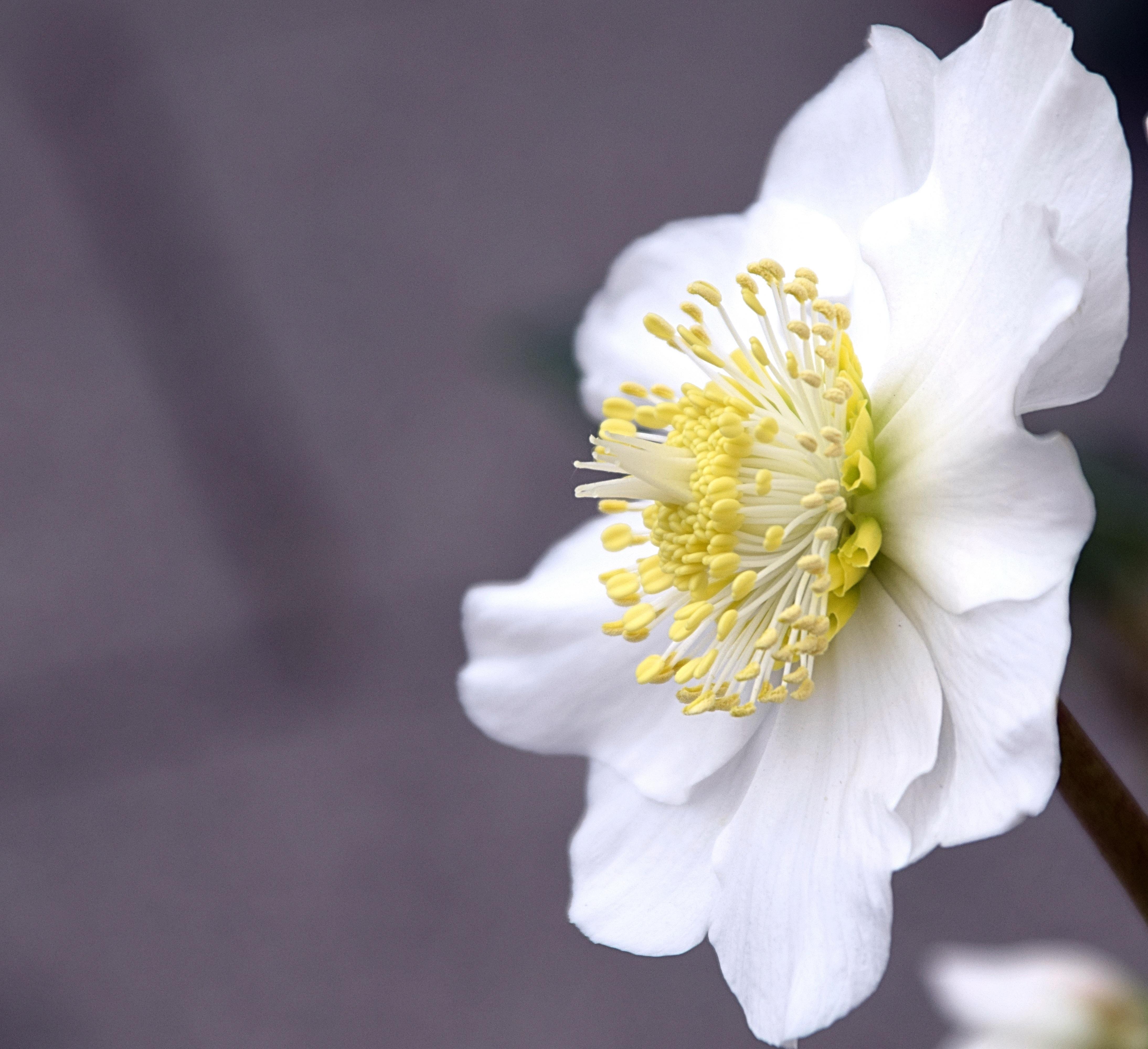 Kostenlose foto : Natur, Weiß, Blütenblatt, Gelb, schließen, Flora ...