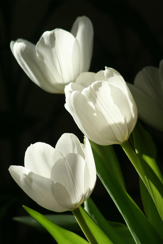 что фото с белыми тюльпанами тебя аришеньку первым