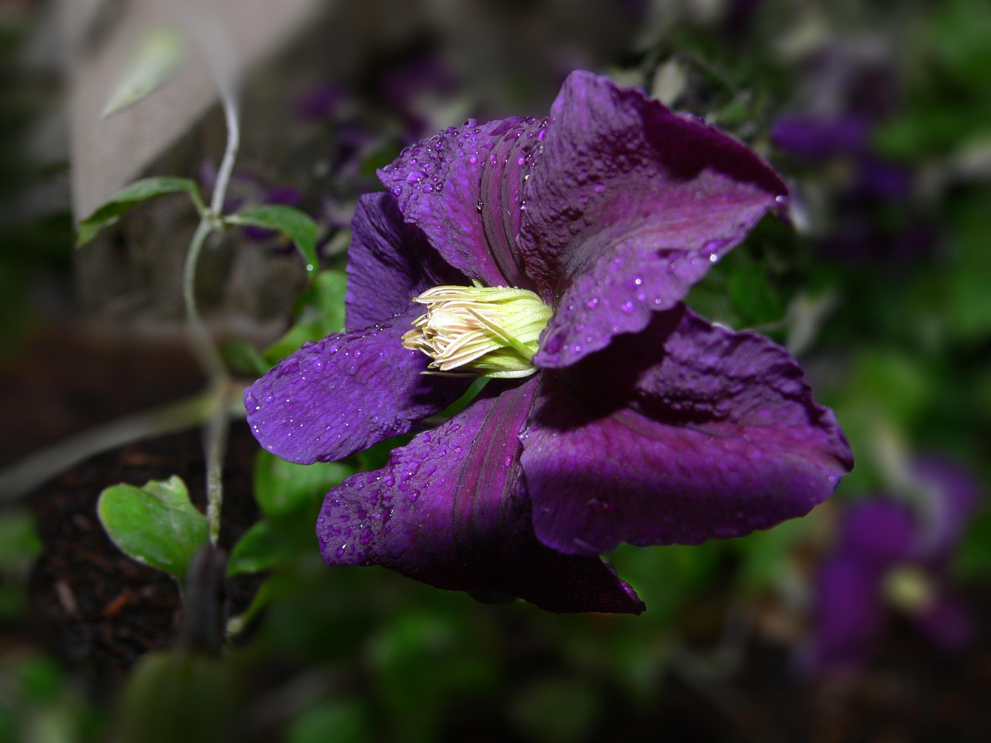 kostenlose foto natur bl hen wei blume lila bl tenblatt foto sommer busch. Black Bedroom Furniture Sets. Home Design Ideas
