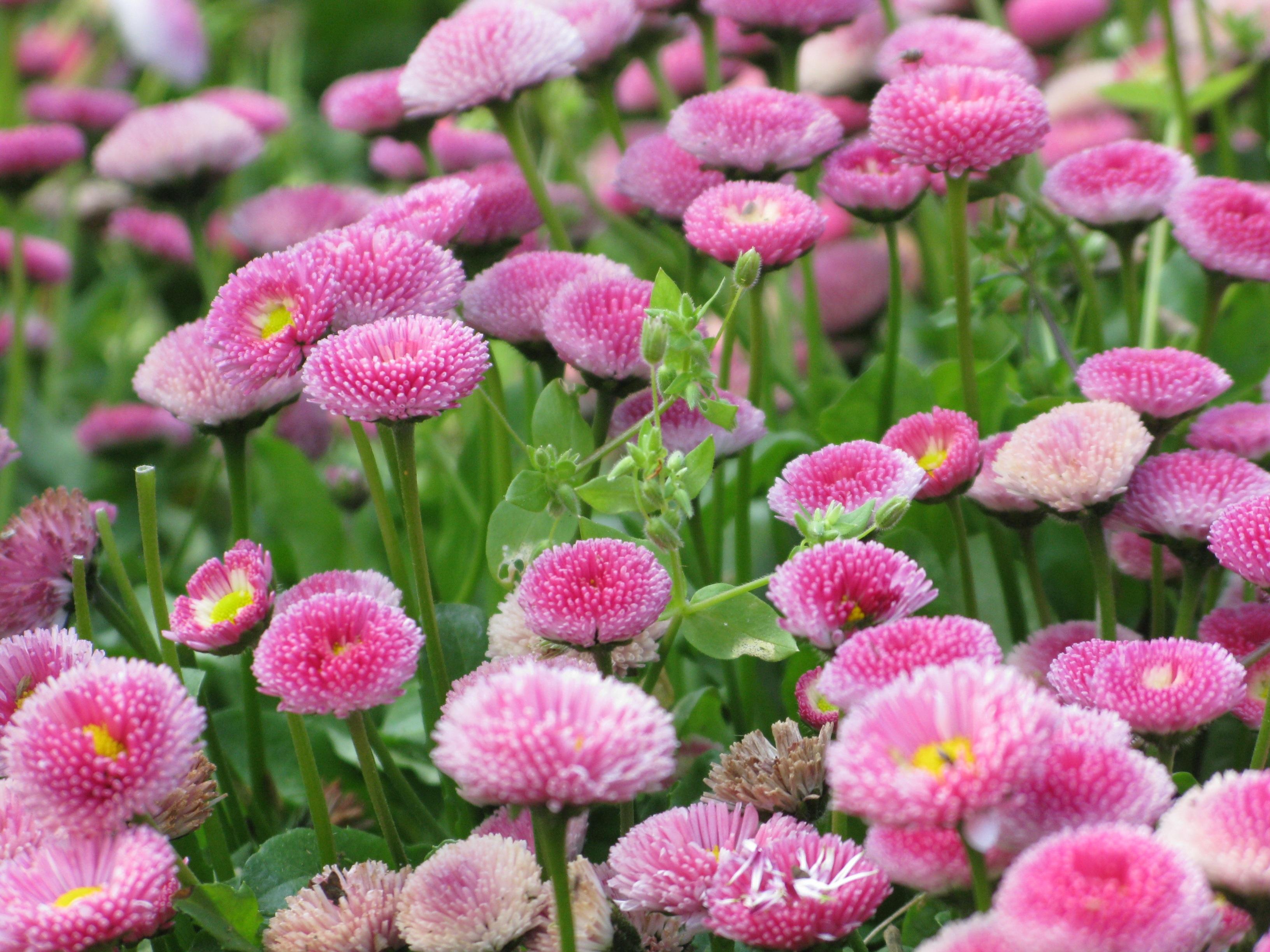 маргаритка весна красна фото никому формально принадлежит