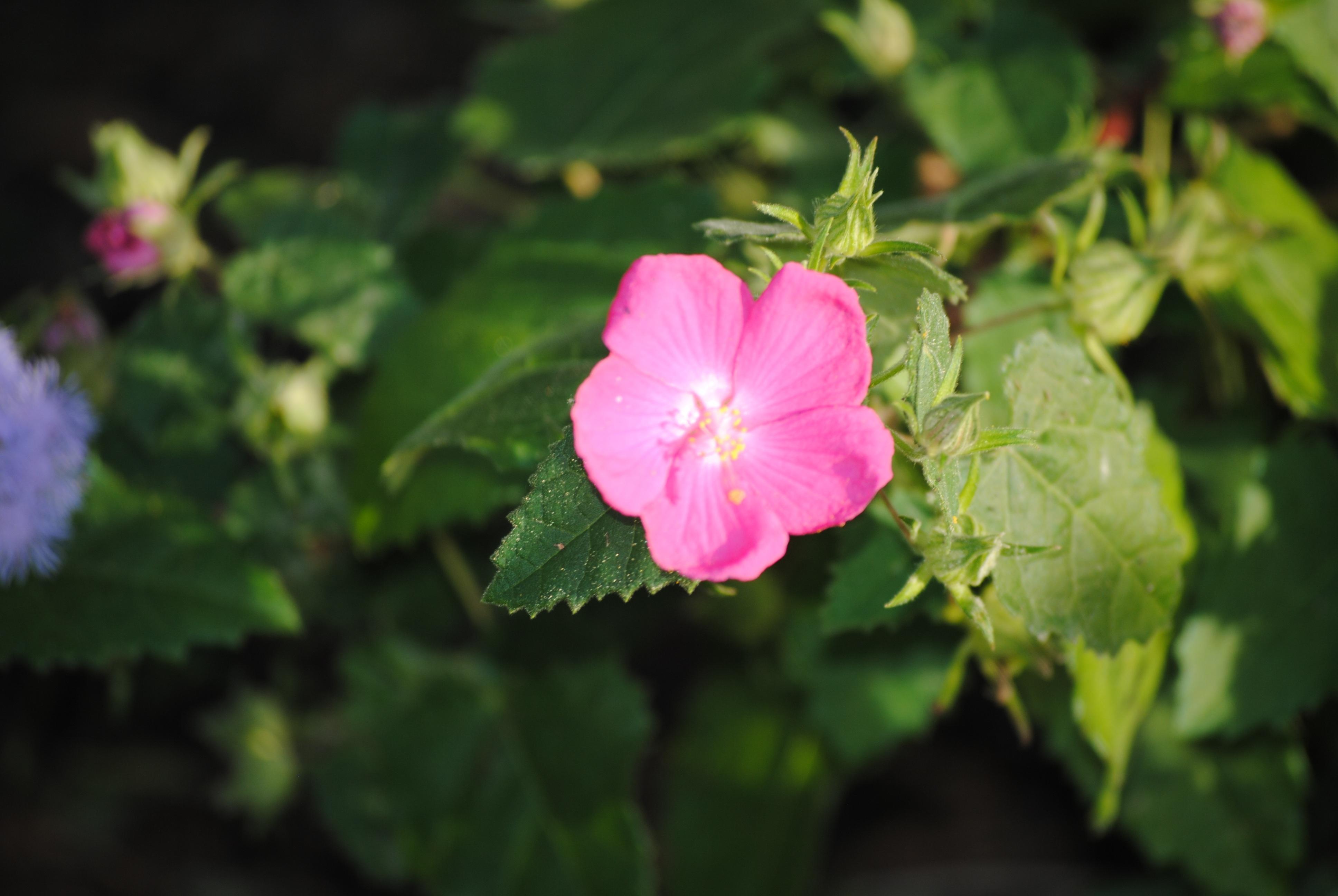 Fotos gratis : naturaleza, blanco, hoja, púrpura, pétalo, florecer ...