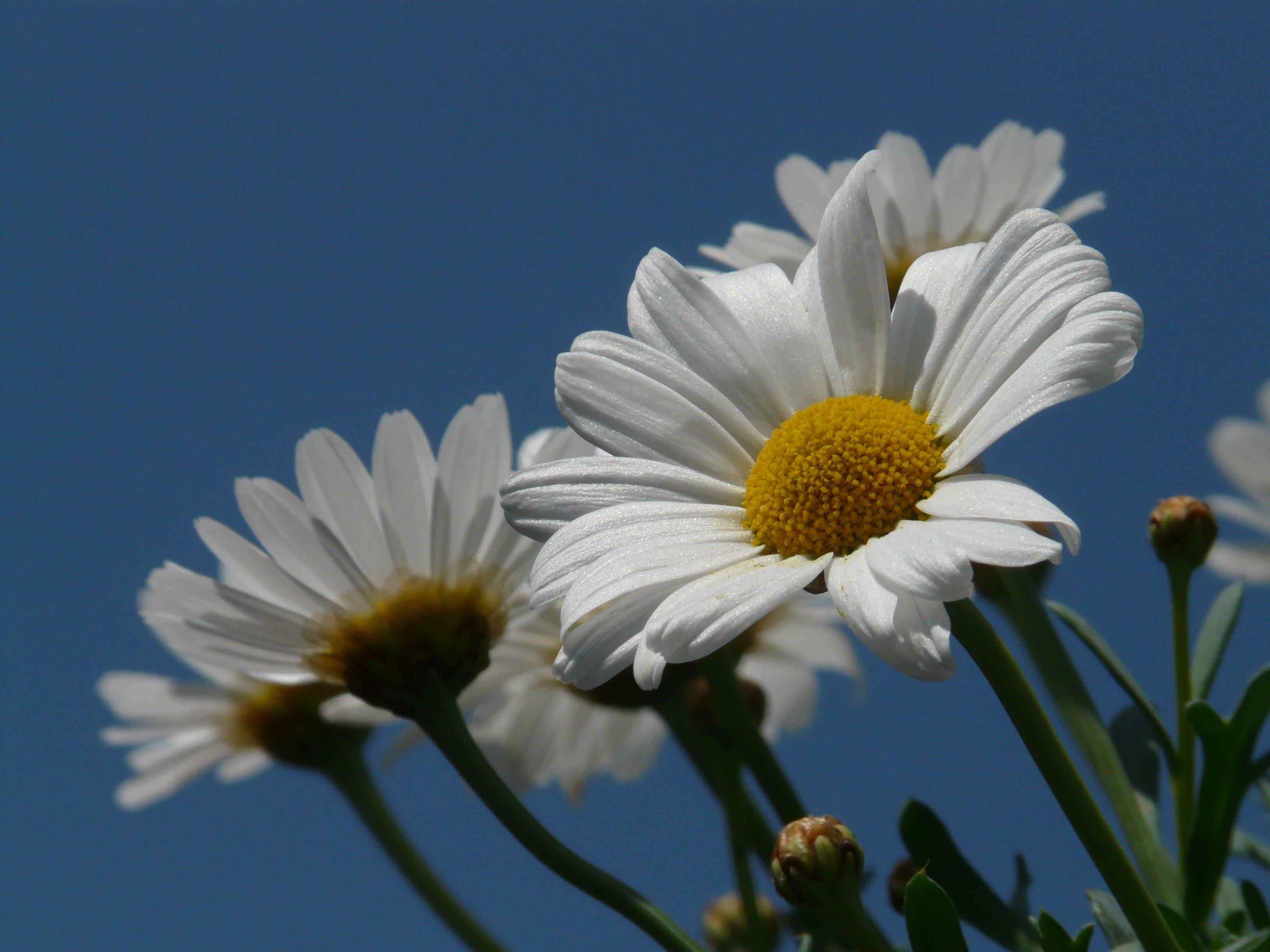 images gratuites la nature fleur blanc prairie p tale floraison marguerite botanique. Black Bedroom Furniture Sets. Home Design Ideas