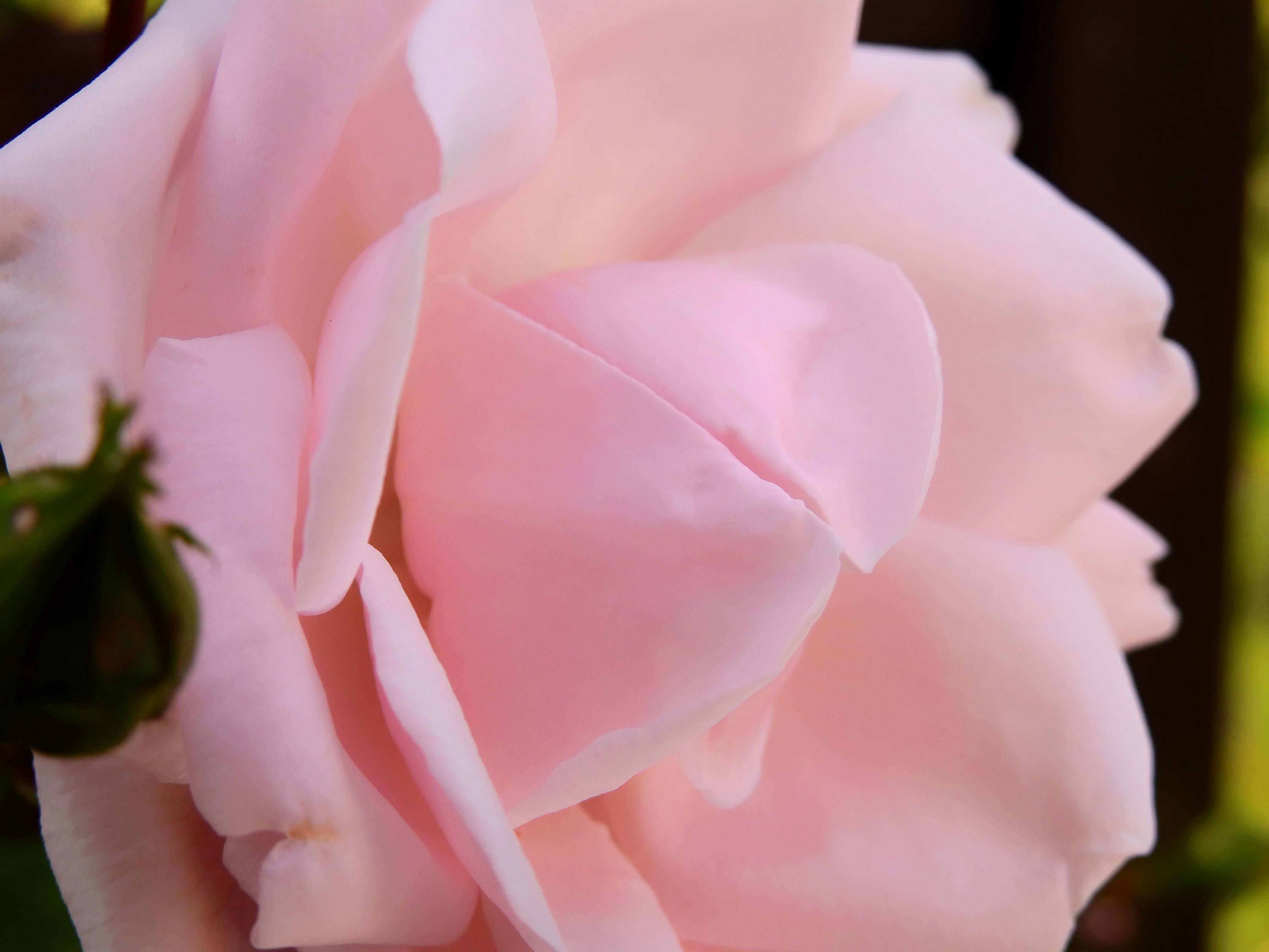 белые нежные розы фото