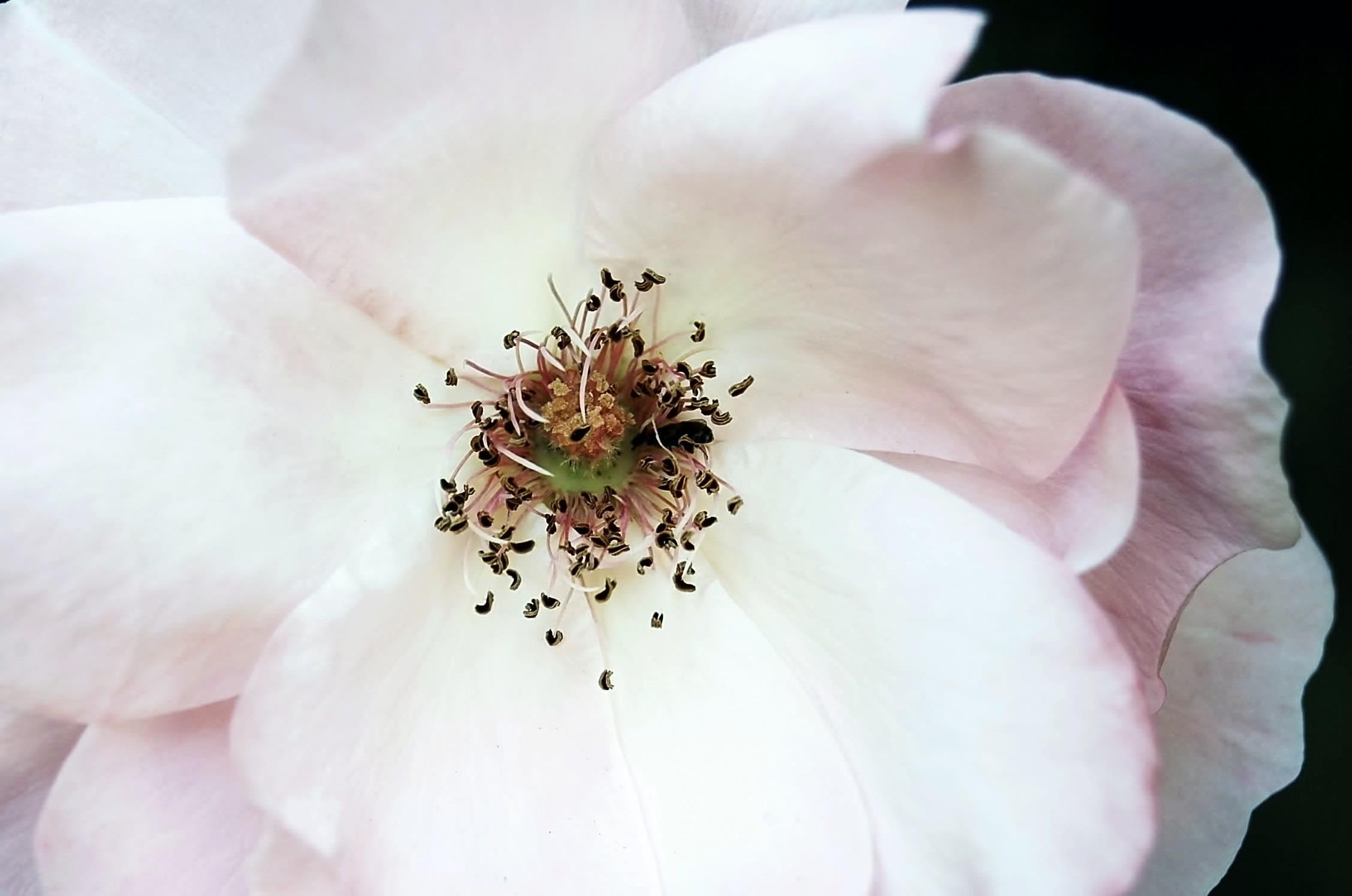 Bildet : natur, blomstre, anlegg, hvit, fotografering, blomst, petal ...