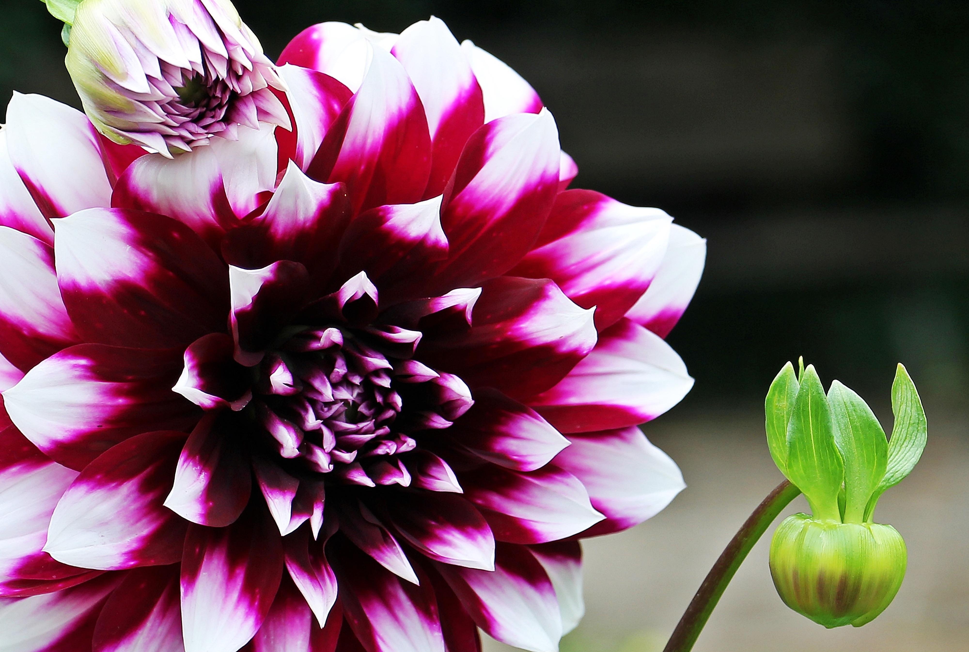 Free Images : nature, blossom, petal, bloom, summer, pink, flora ...