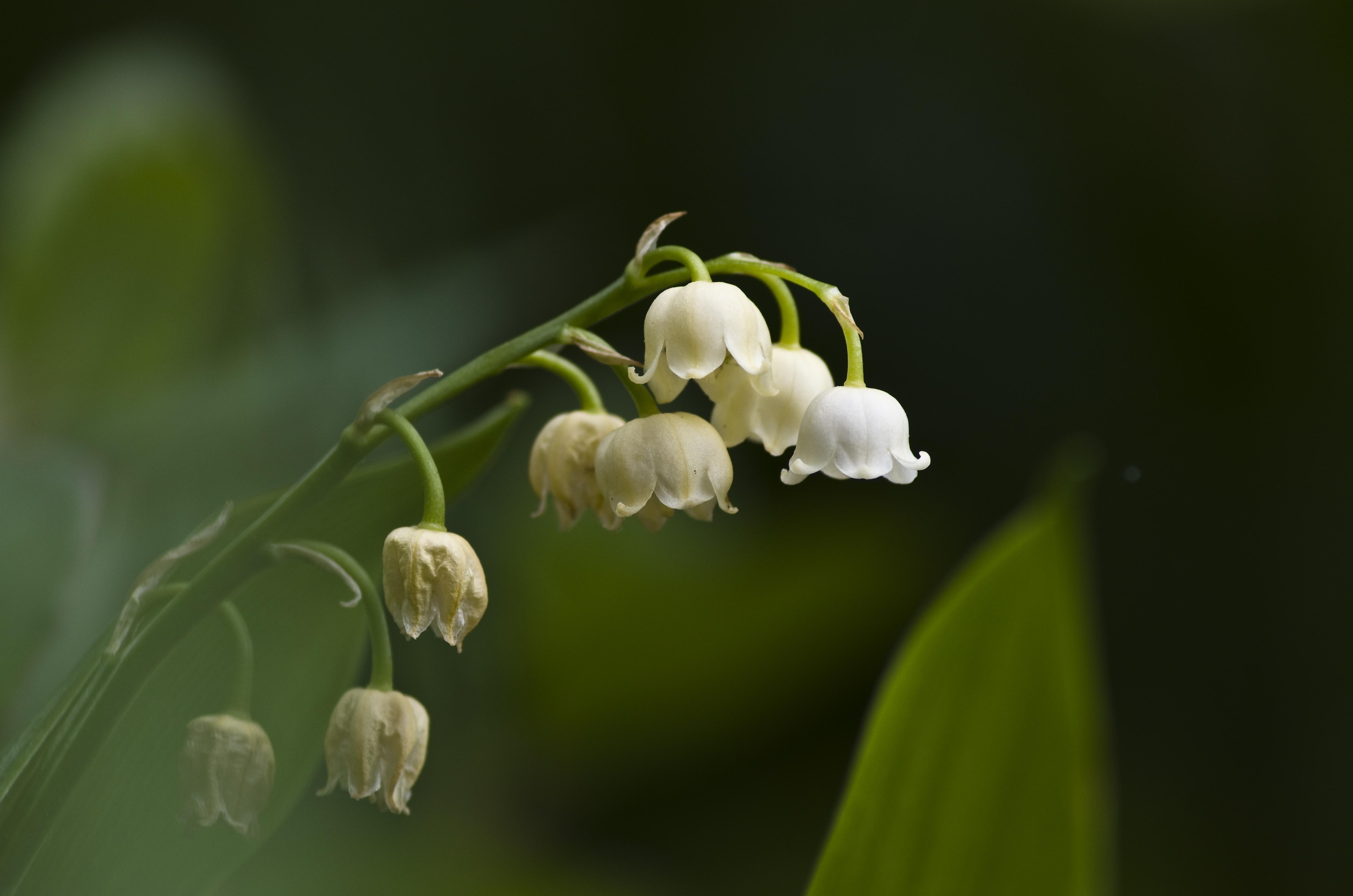 Free Images Nature Blossom Leaf Flower Petal Bloom Bell