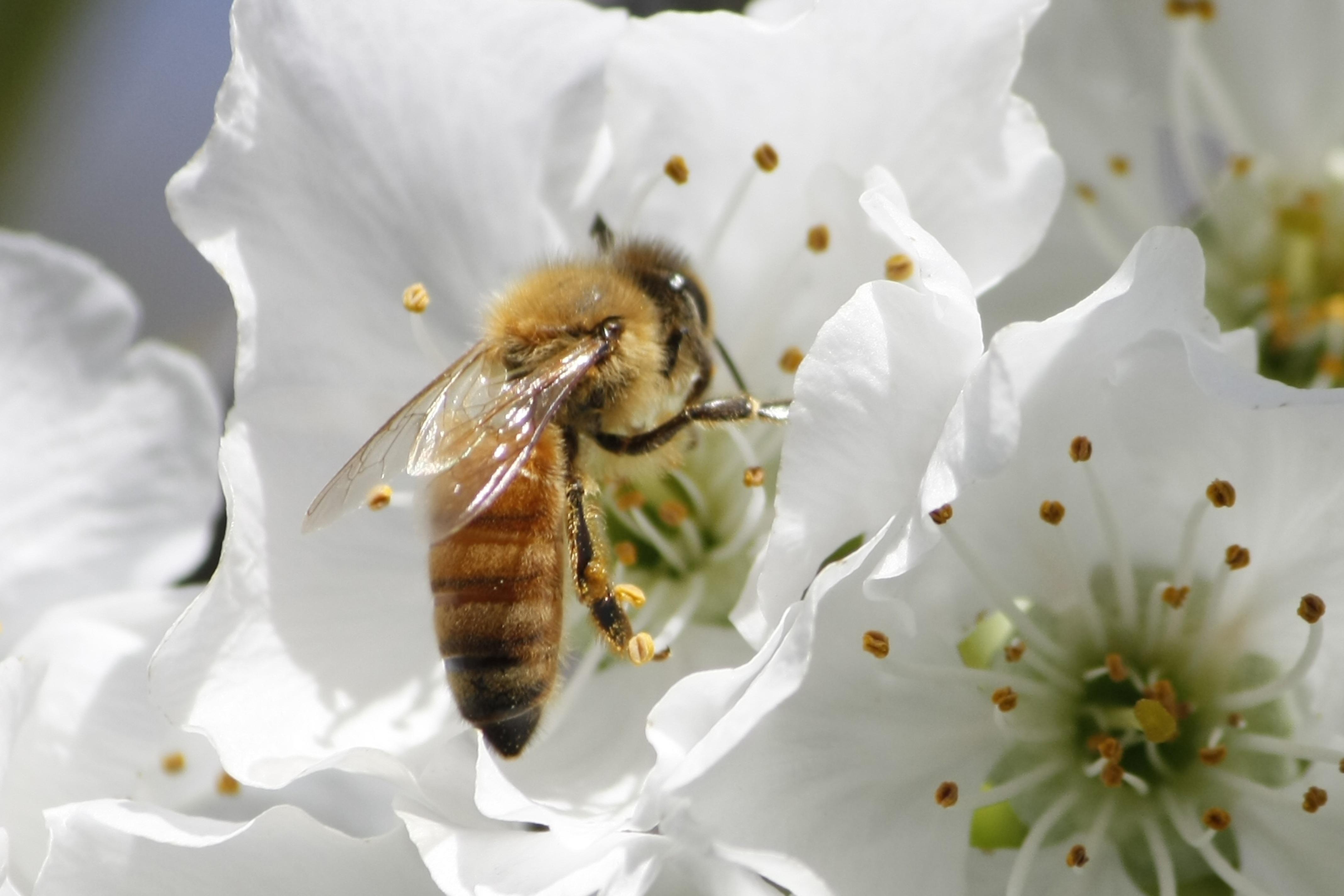 них картинка как пчела опыляет цветок что нам сейчас