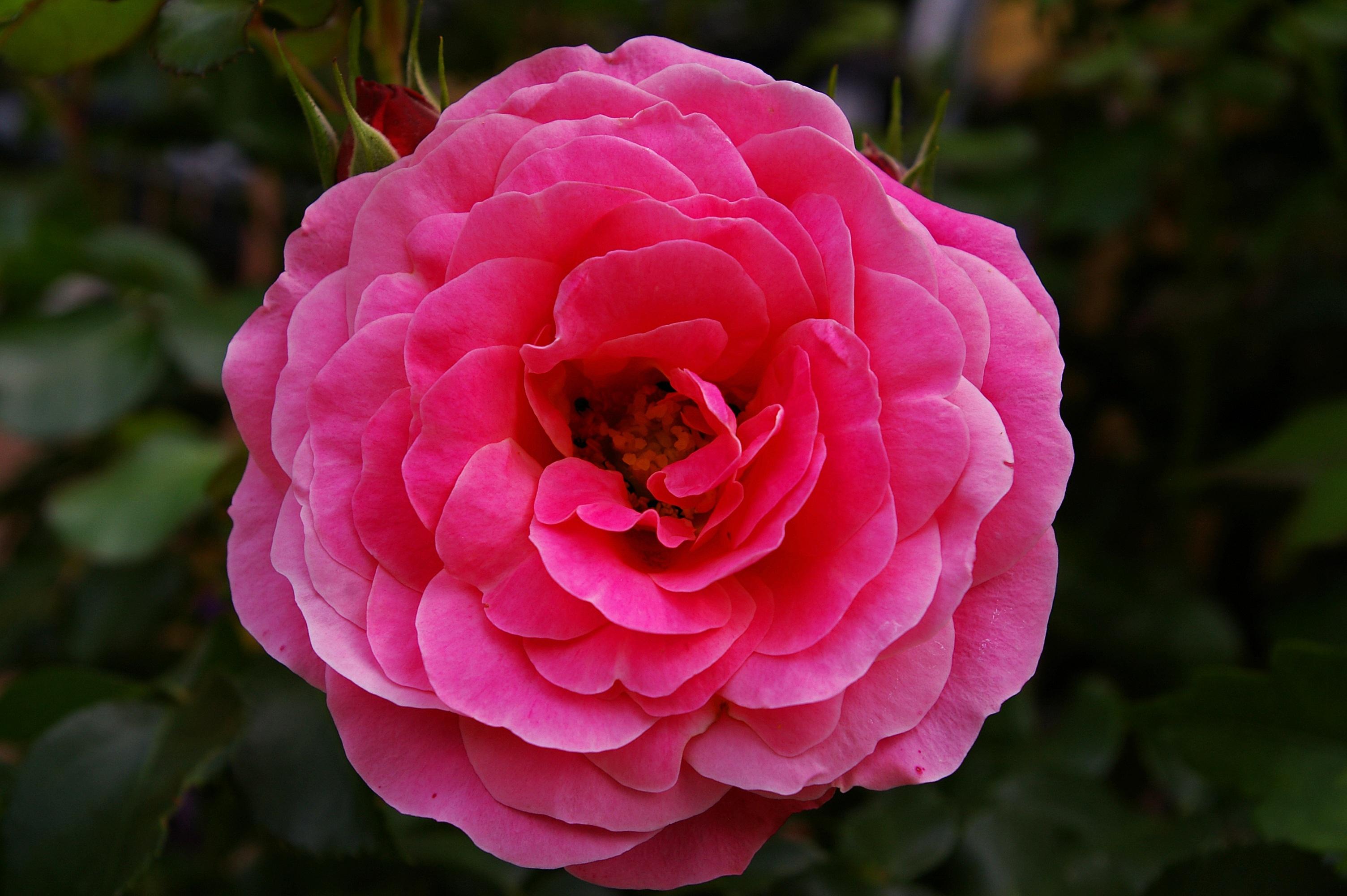 Fotos gratis naturaleza flor espinoso sol hoja for Cancion jardin de rosas en ingles