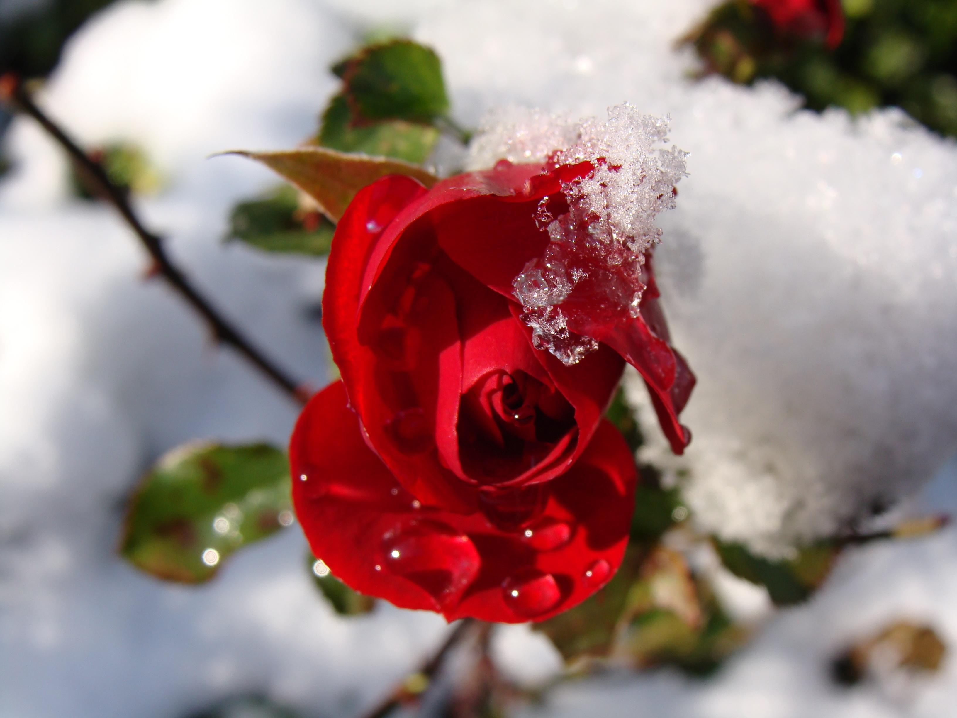 последнее снег и цветы фото отзывам