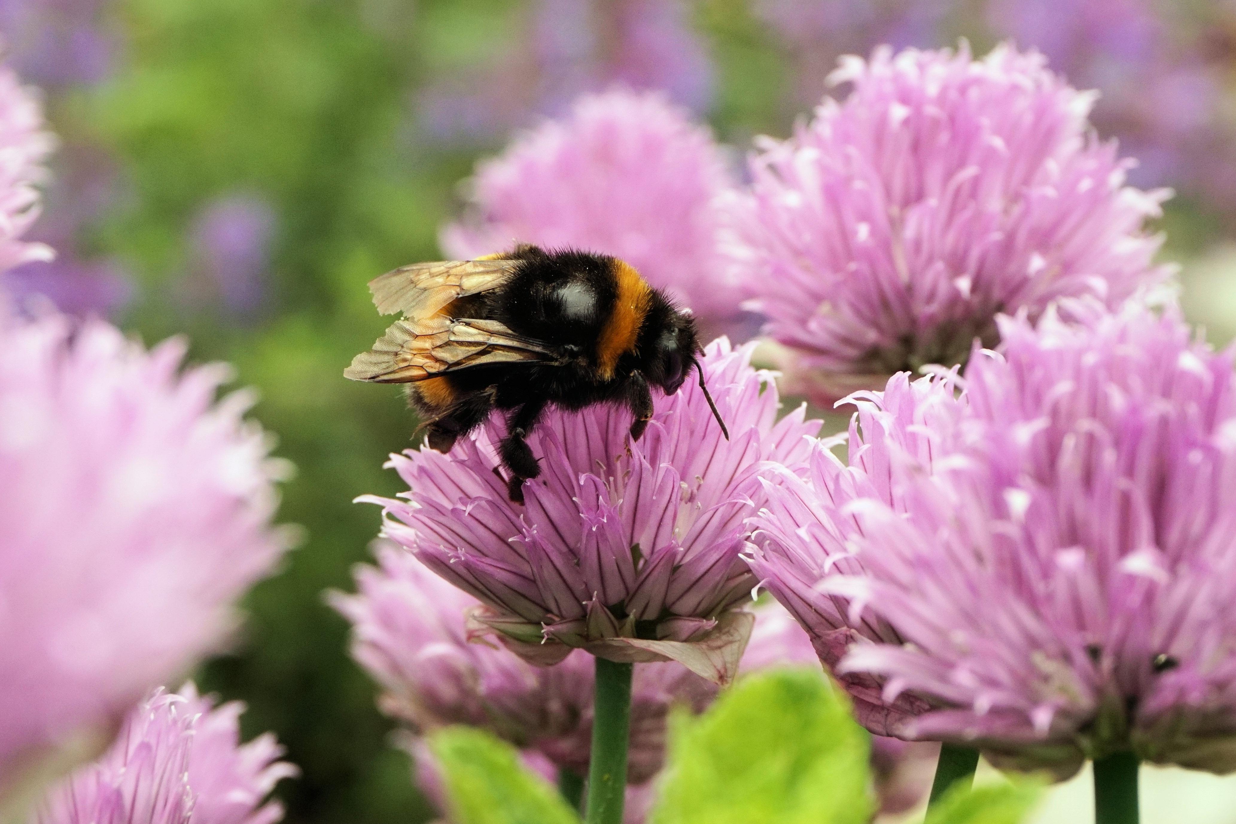 kostenlose foto natur bl hen fl gel blume lila bl tenblatt tier sommer pollen makro. Black Bedroom Furniture Sets. Home Design Ideas