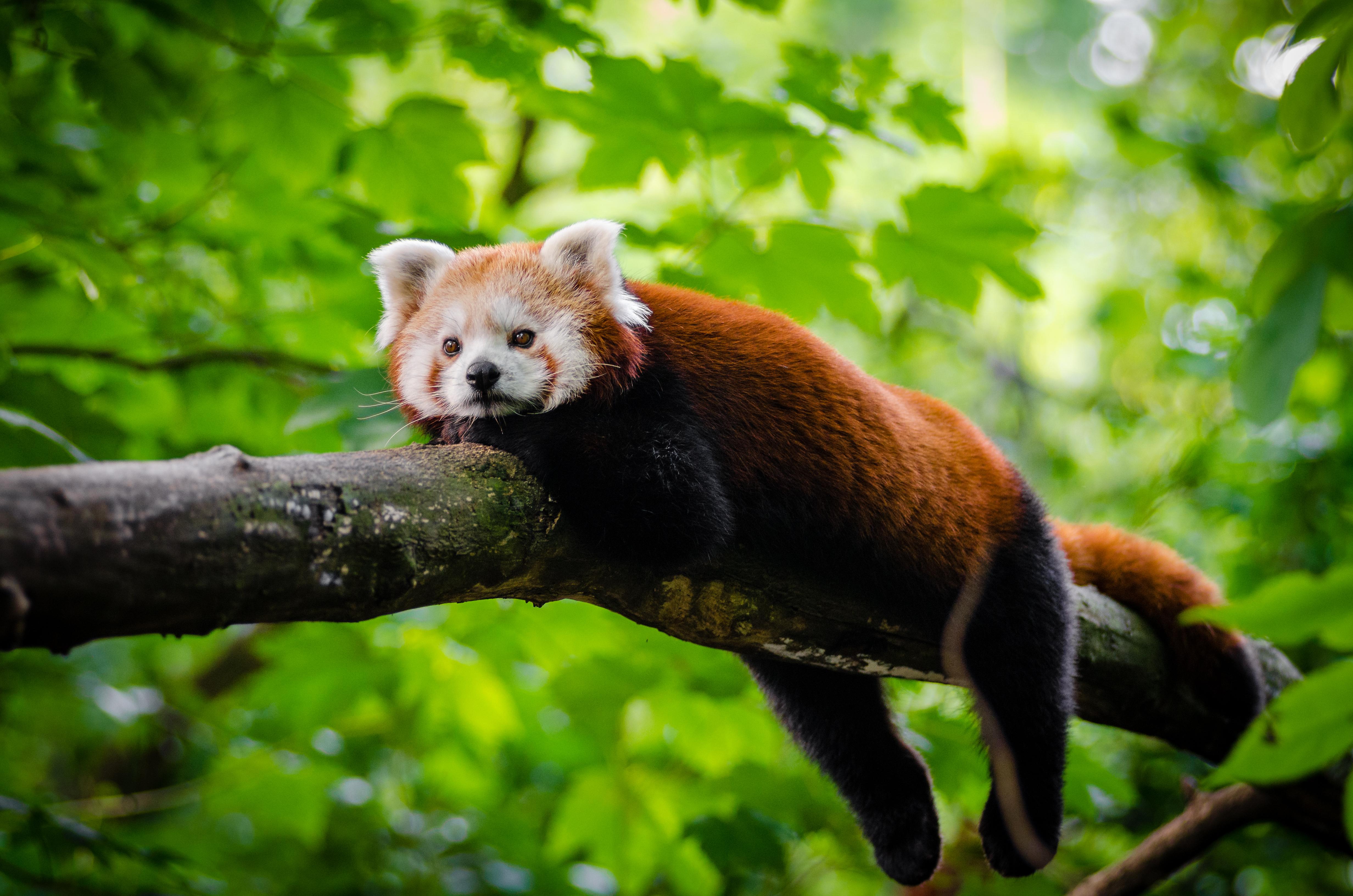 Red Panda  № 1564132  скачать