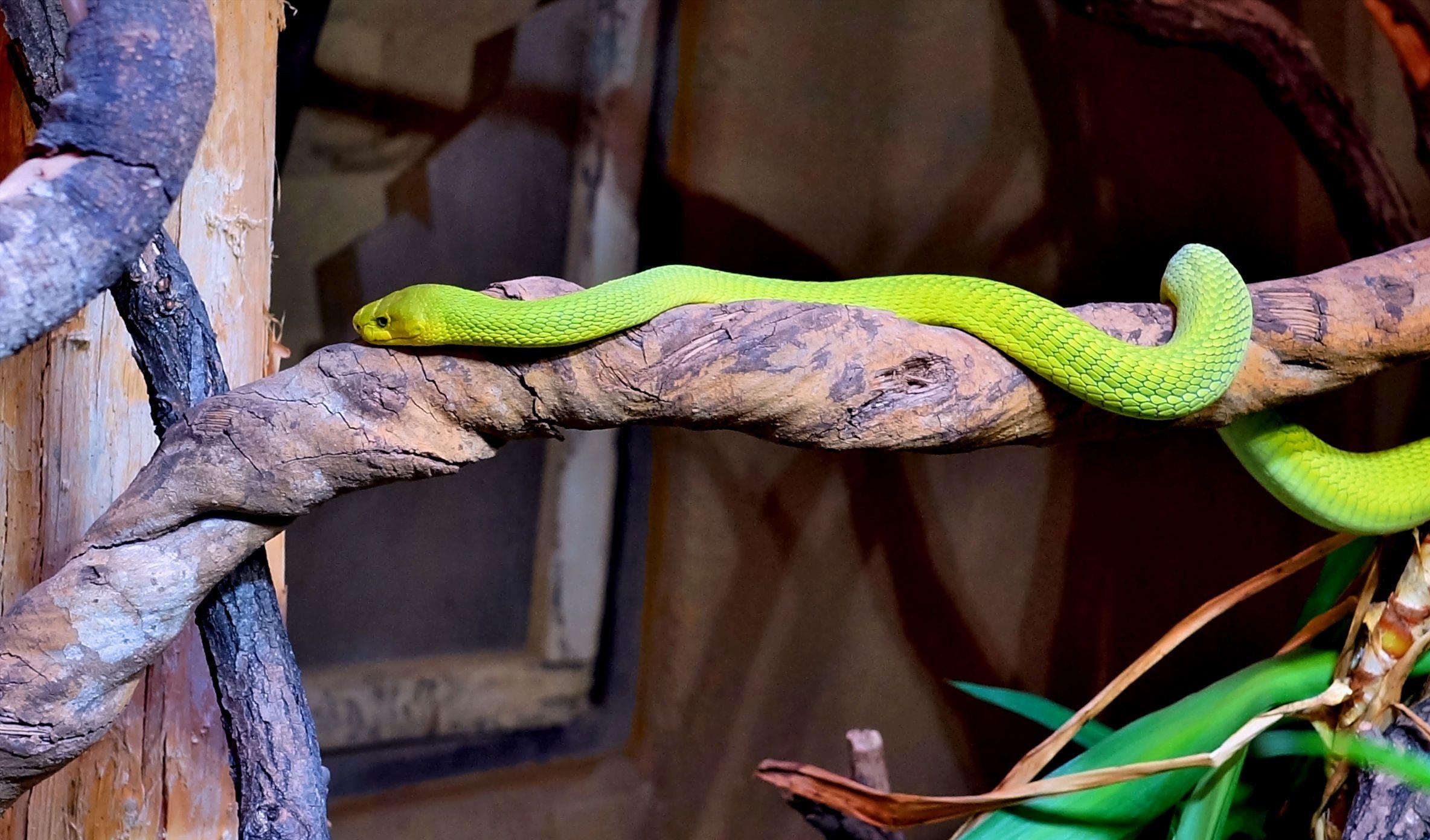hình ảnh : thiên nhiên, chi nhánh, thú vật, màu xanh lá, Bò sát, tỉ lệ, Con rắn xanh, chất độc, con rắn, Sinh vật, thế giới động vật, Trò chơi màu, ...