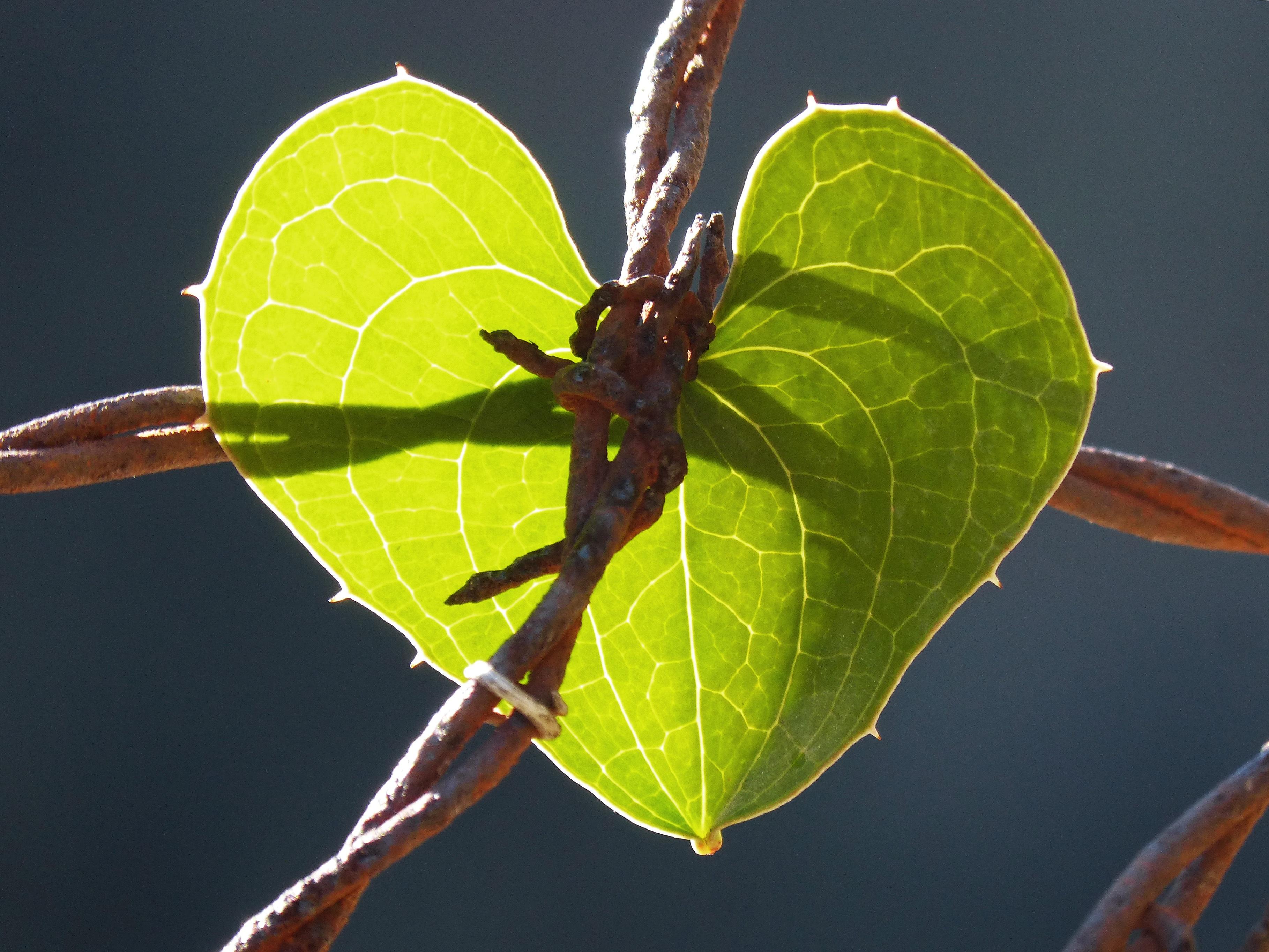 Fotos gratis : naturaleza, rama, alambre de espino, fotografía, hoja ...