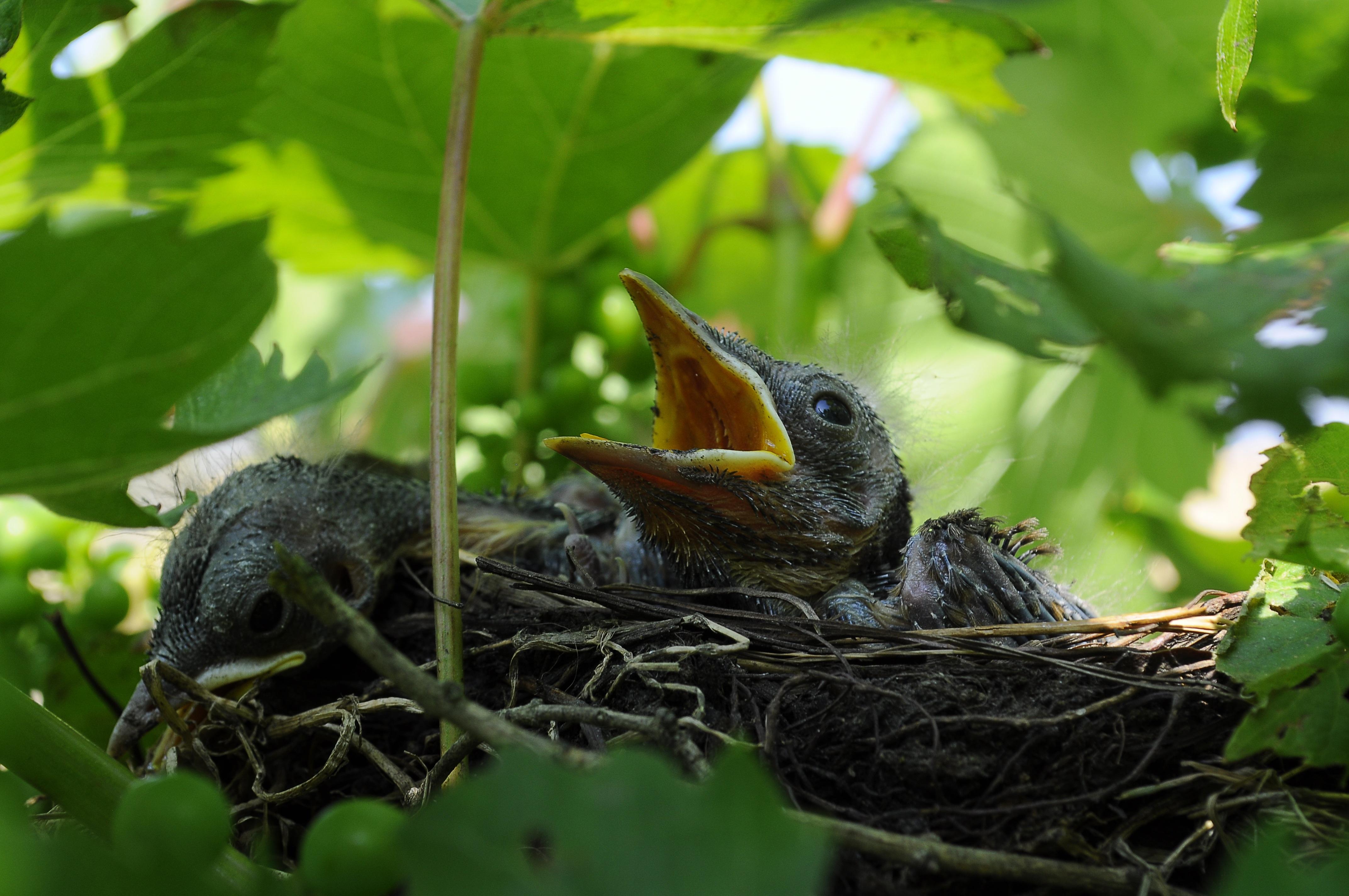 Картинка гнездо с птенцами