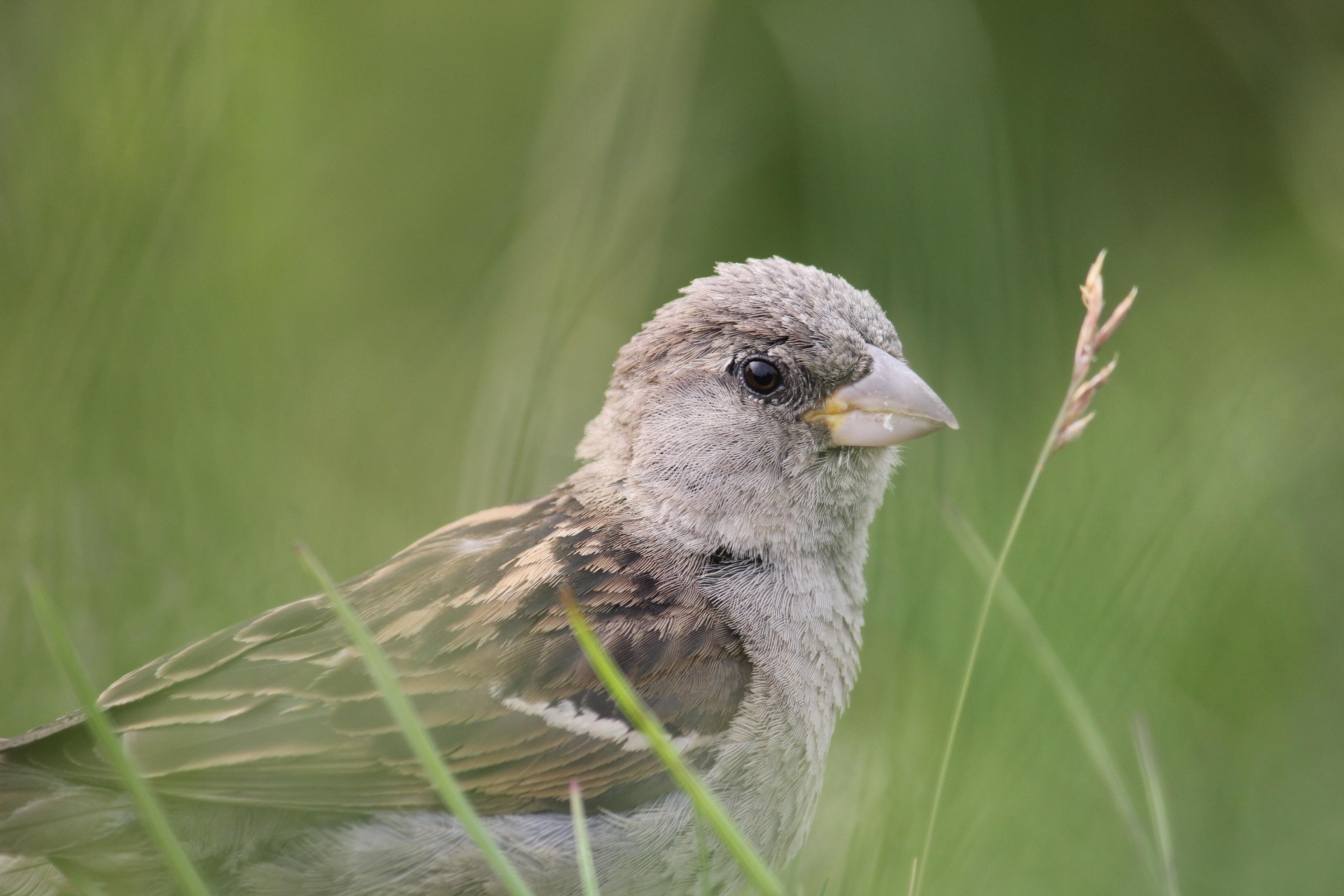 66+ Gambar Binatang Burung Pipit HD Terbaik