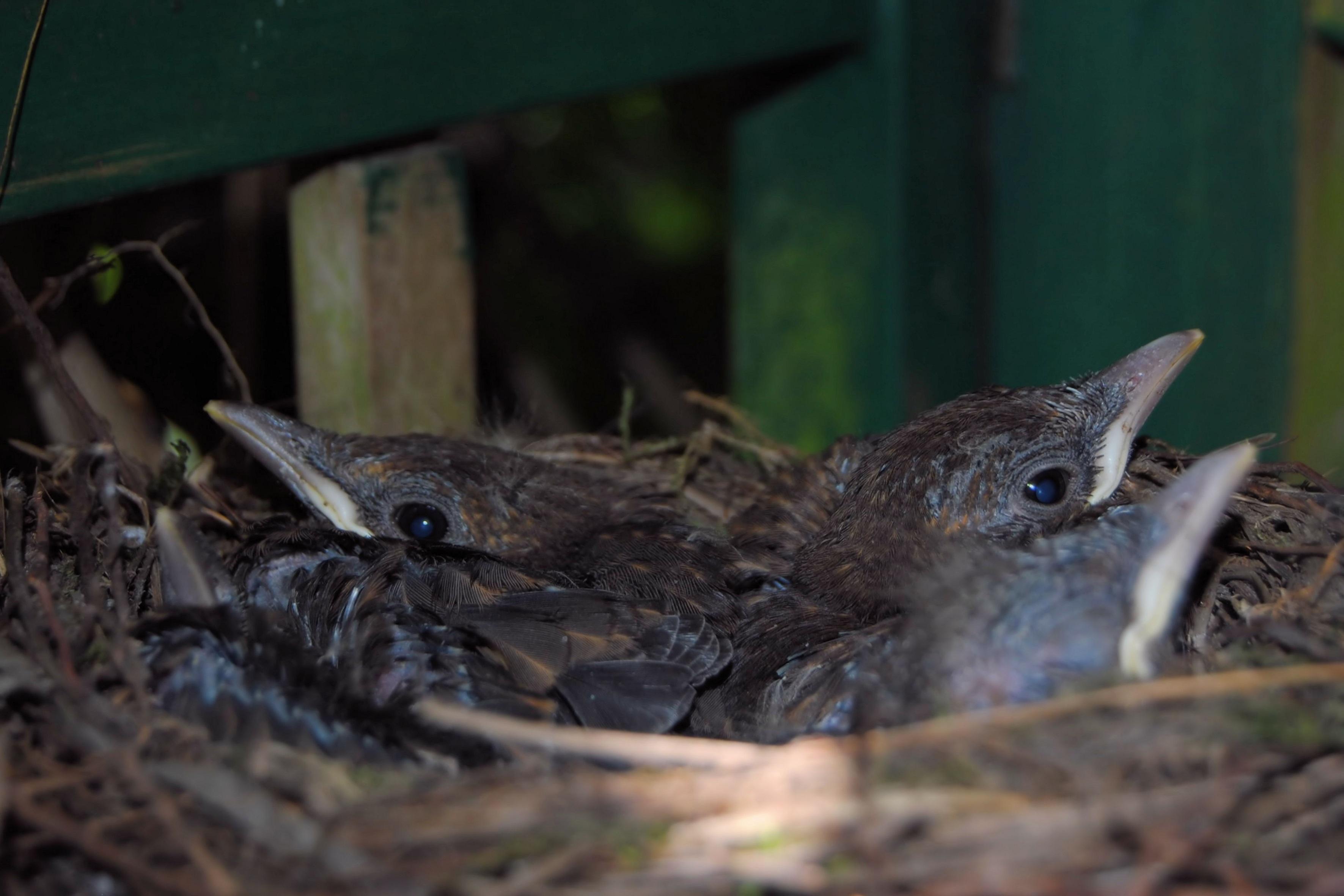 mladí ptáci com