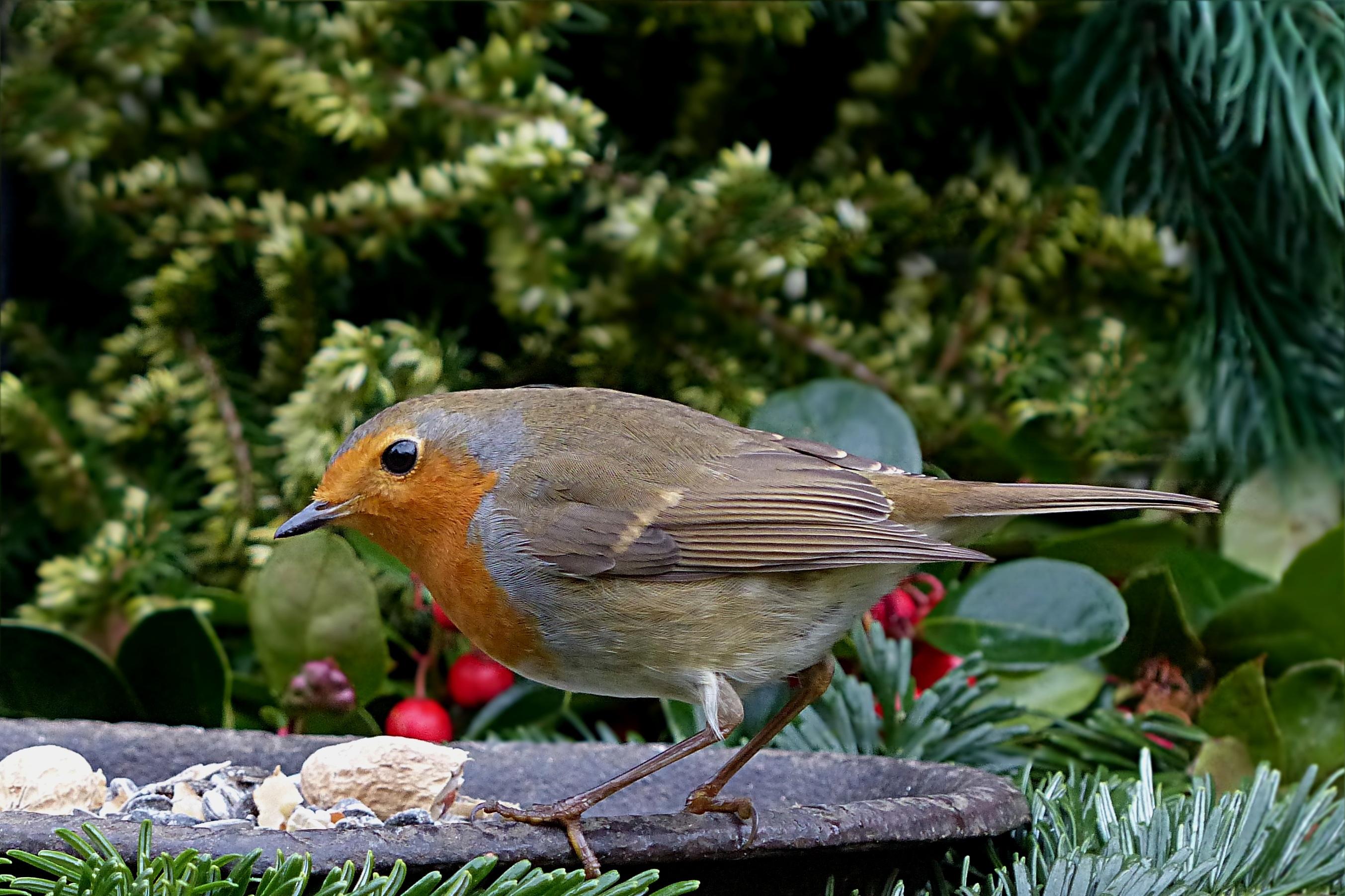 обязательное условие садовые птицы фото и названия условно-съедобный гриб значит